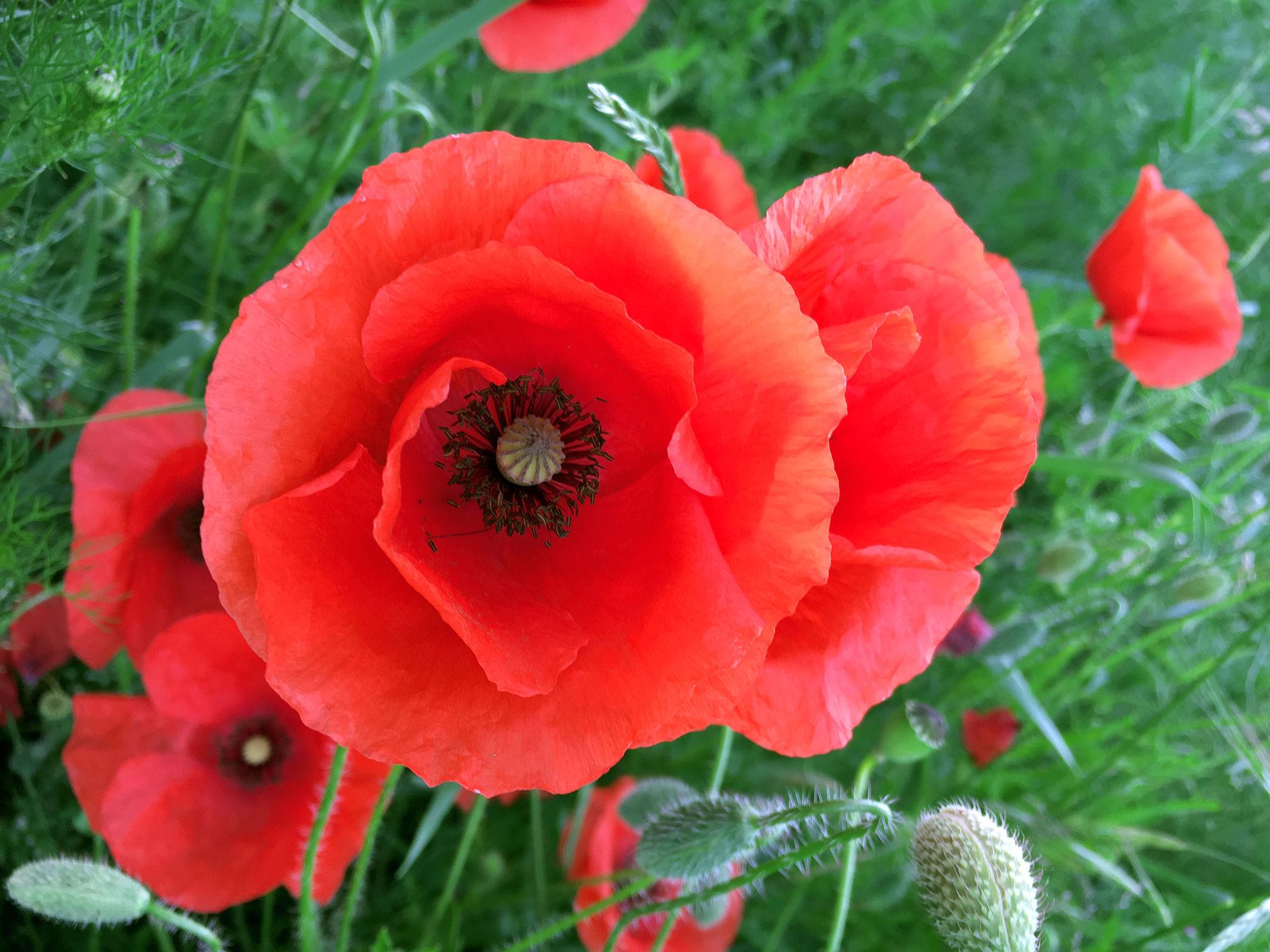 Bild mit Blumen, Mohn, Blume, Pflanze, Mohnblume, Poppy, Poppies, Wiese, Feld, Feldblume, Feldblumen, Mohnblumen auf der grünen Wiese