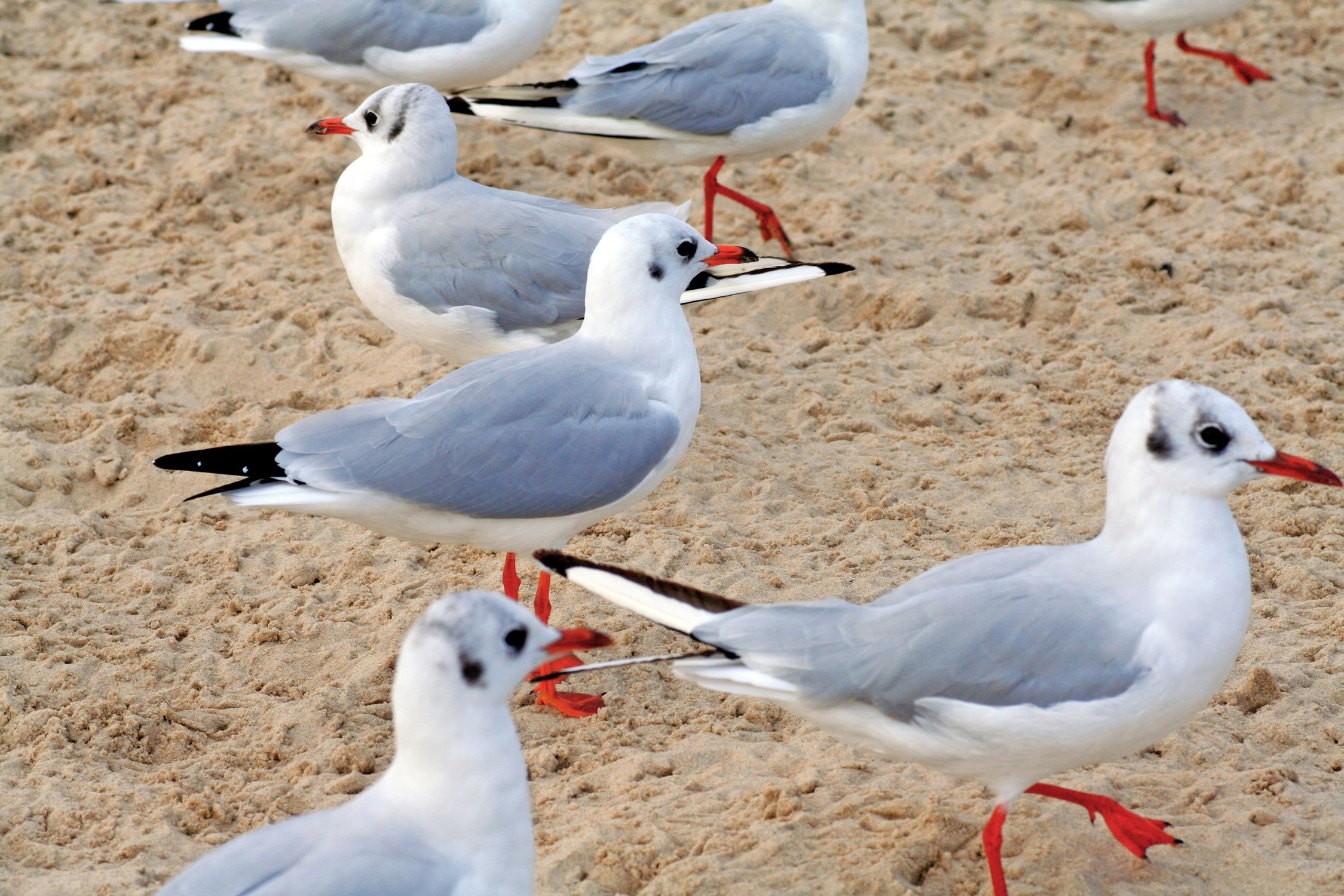 Bild mit Tiere, Vögel, Vögel, Wasservögel, Möwen, Tier, Möwe, Möwe am Strand, Möwen am Strand, Möwenvögel, Möwenvögel, Watvögel