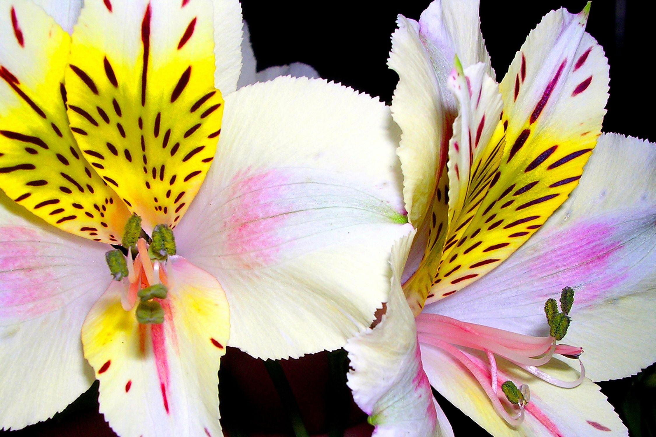 Bild mit Farben, Gelb, Natur, Pflanzen, Blumen, Weiß, Rosa, Orchideen, Orchidee, Orchid, Orchids, Orchideengewächse, Orchidaceae