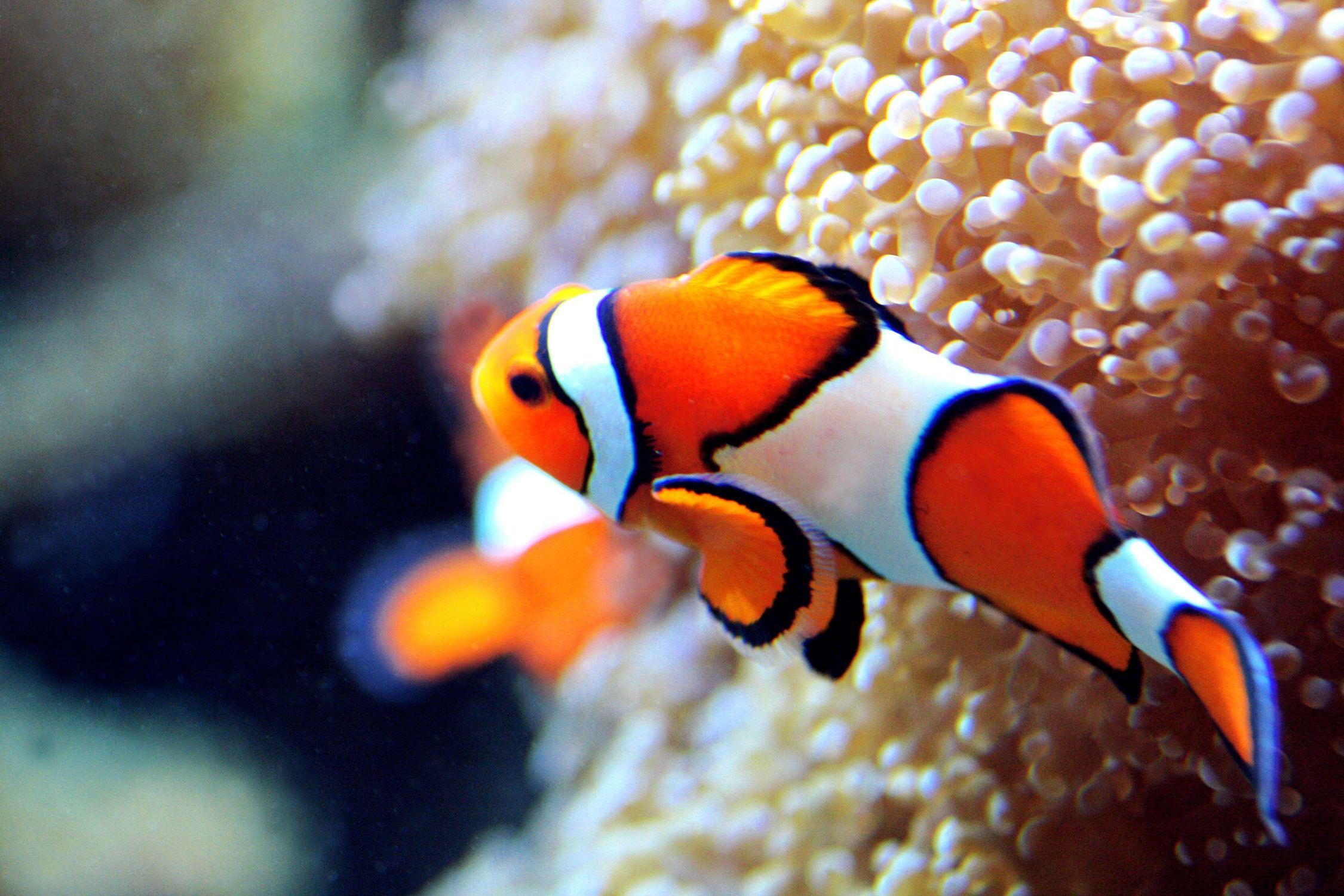 Bild mit Tiere, Natur, Landschaften, Nesseltiere, Korallen, Fische, Fische, Barsche, Unterwasser, Riffs, Anemonenfische, Clownfische, Krebse und Weichtiere