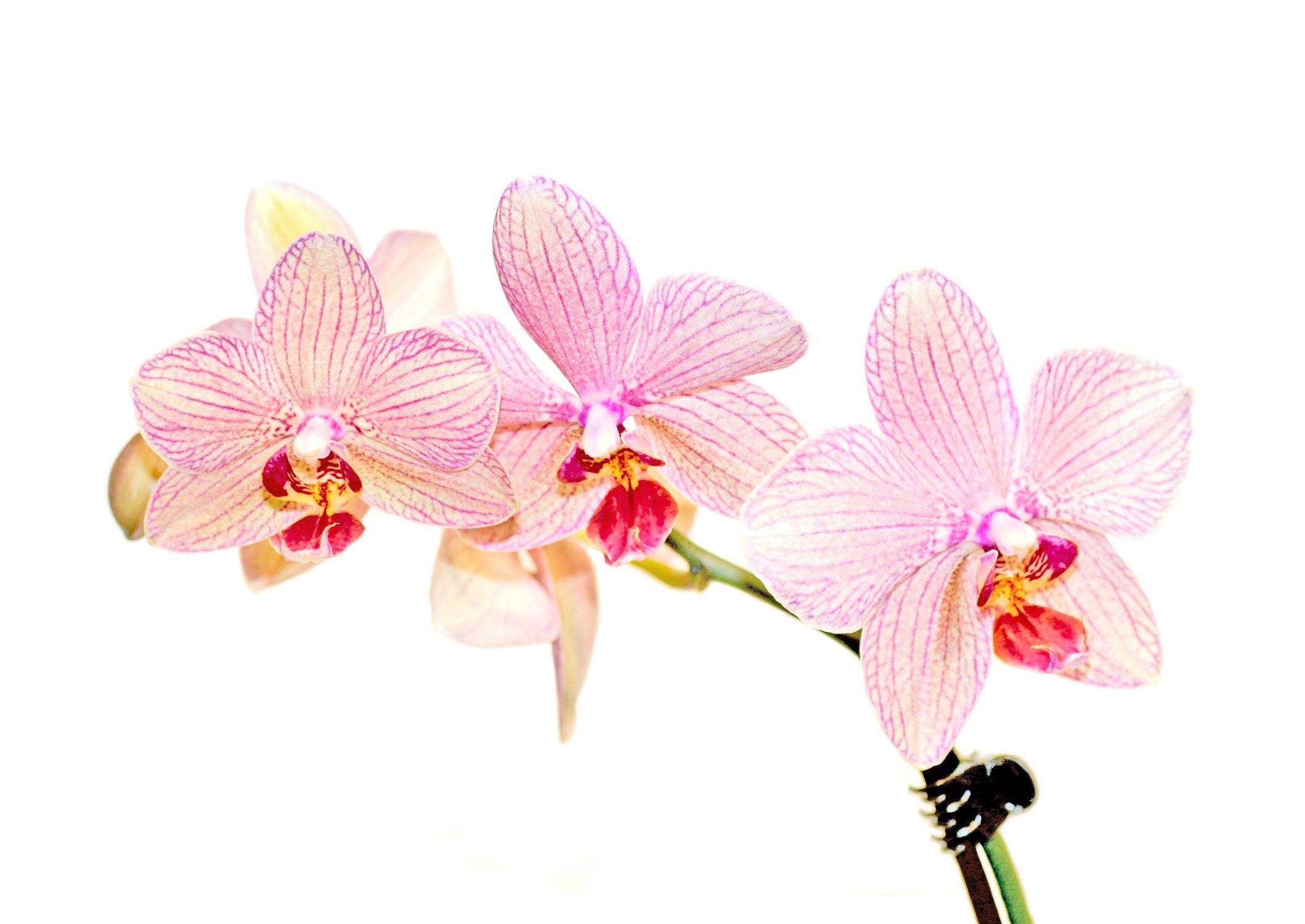 Bild mit Farben, Gegenstände, Natur, Pflanzen, Blumen, Rosa, Orchideen, Blume, Orchidee, Orchidee, Orchid, Orchids, Orchideengewächse, Pflanze, Orchidaceae, Grammatophyllum speciosum, Orchideen vor weißen Hintergrund, Tiger