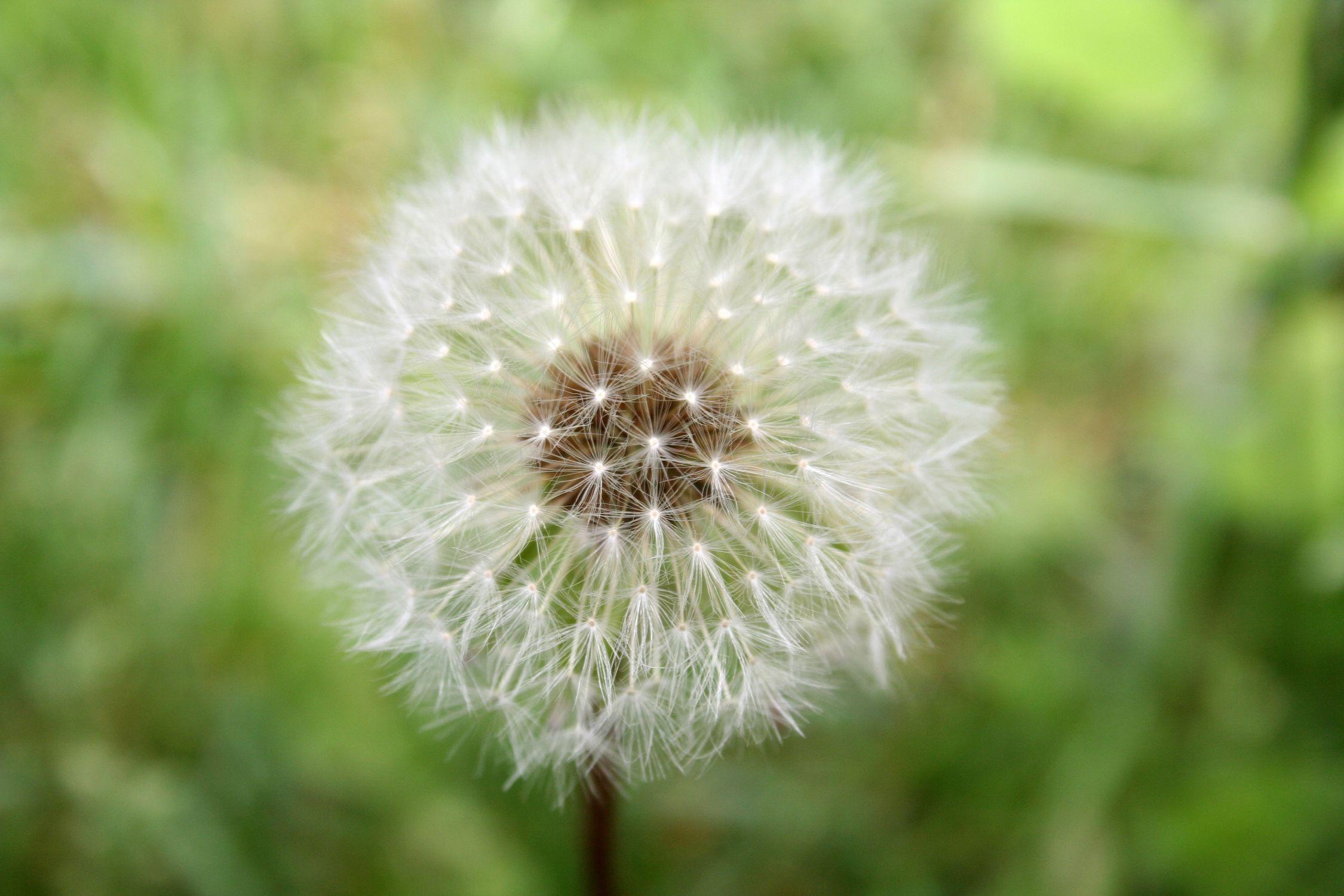Bild mit Natur, Pflanzen, Gräser, Jahreszeiten, Blumen, Frühling, Korbblütler, Löwenzähne, Pusteblume