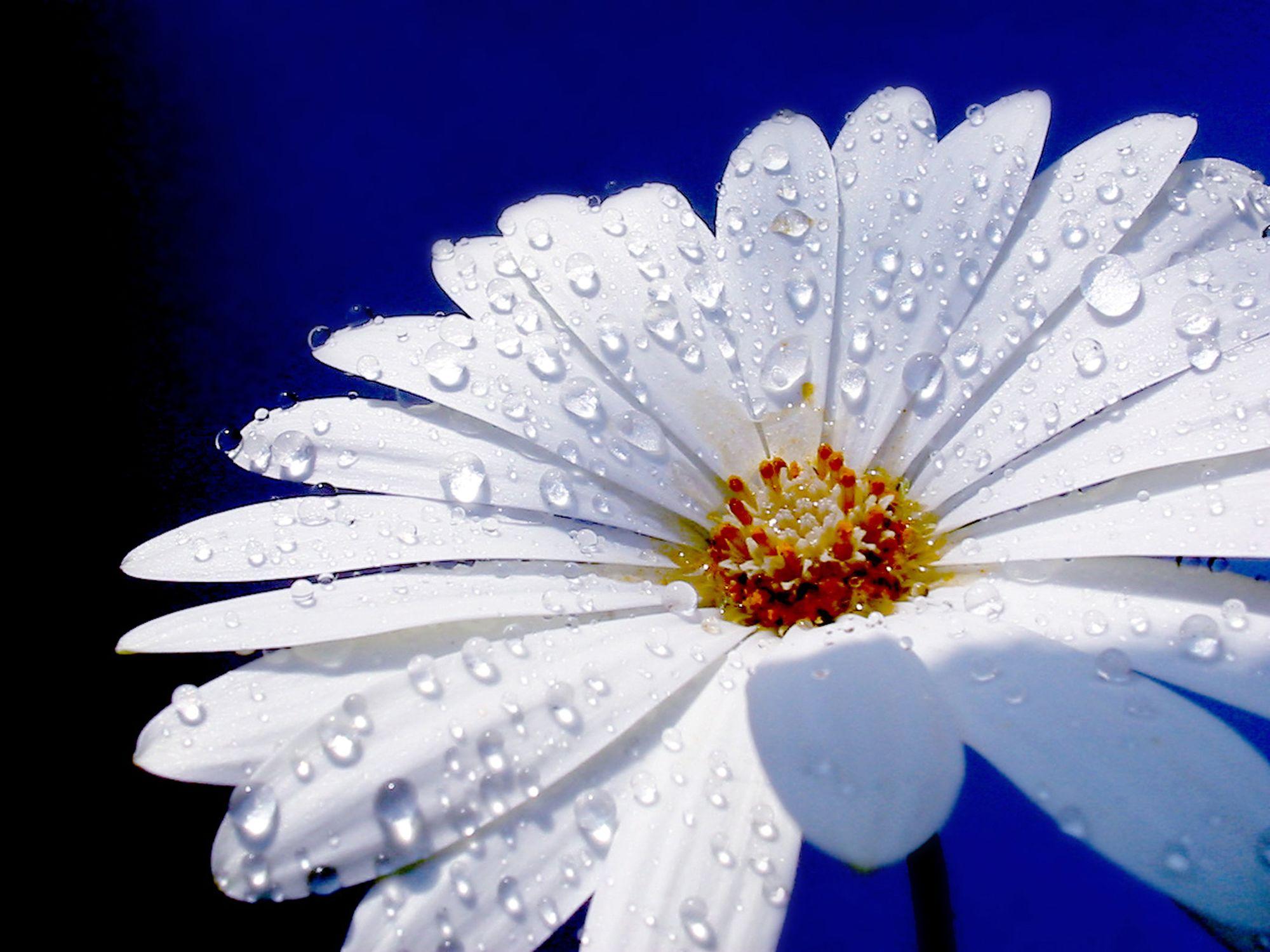 Bild mit Farben, Natur, Elemente, Wasser, Pflanzen, Himmel, Blumen, Weiß, Korbblütler, Gerberas, Kamillen, Blau