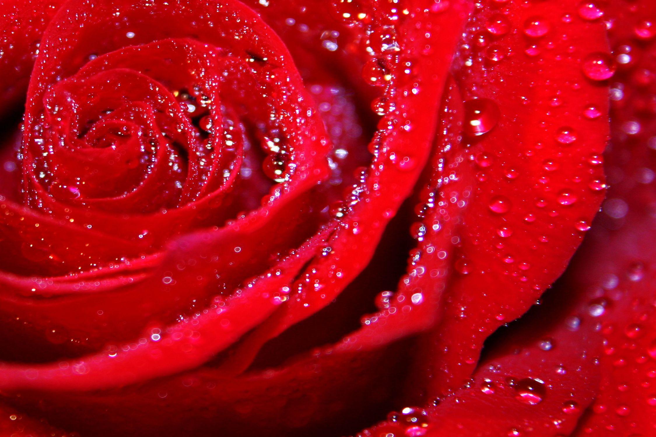 Bild mit Farben, Natur, Elemente, Wasser, Pflanzen, Blumen, Blumen, Rosa, Rosen, Blume, Pflanze, Rose, Roses, rote Rose, Rosenblüte, Flower, Flowers, osaceae, red, Wassertropfen, Wasserperlen, nasse Rose, Wassertropfen auf einer roten Rose