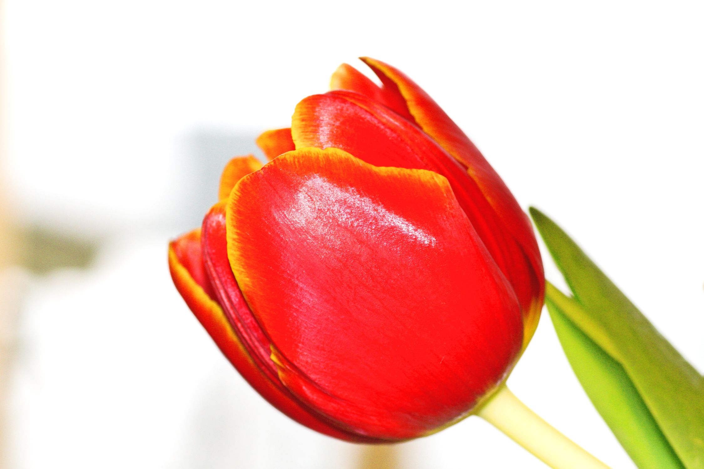 Bild mit Natur, Pflanzen, Blumen, Blumen, Blume, Pflanze, Tulpe, Tulips, Tulpen, Tulipa, Flower, Flowers, Tulip, rote Tulpe, rote Tulpen, red tulip, red tulips