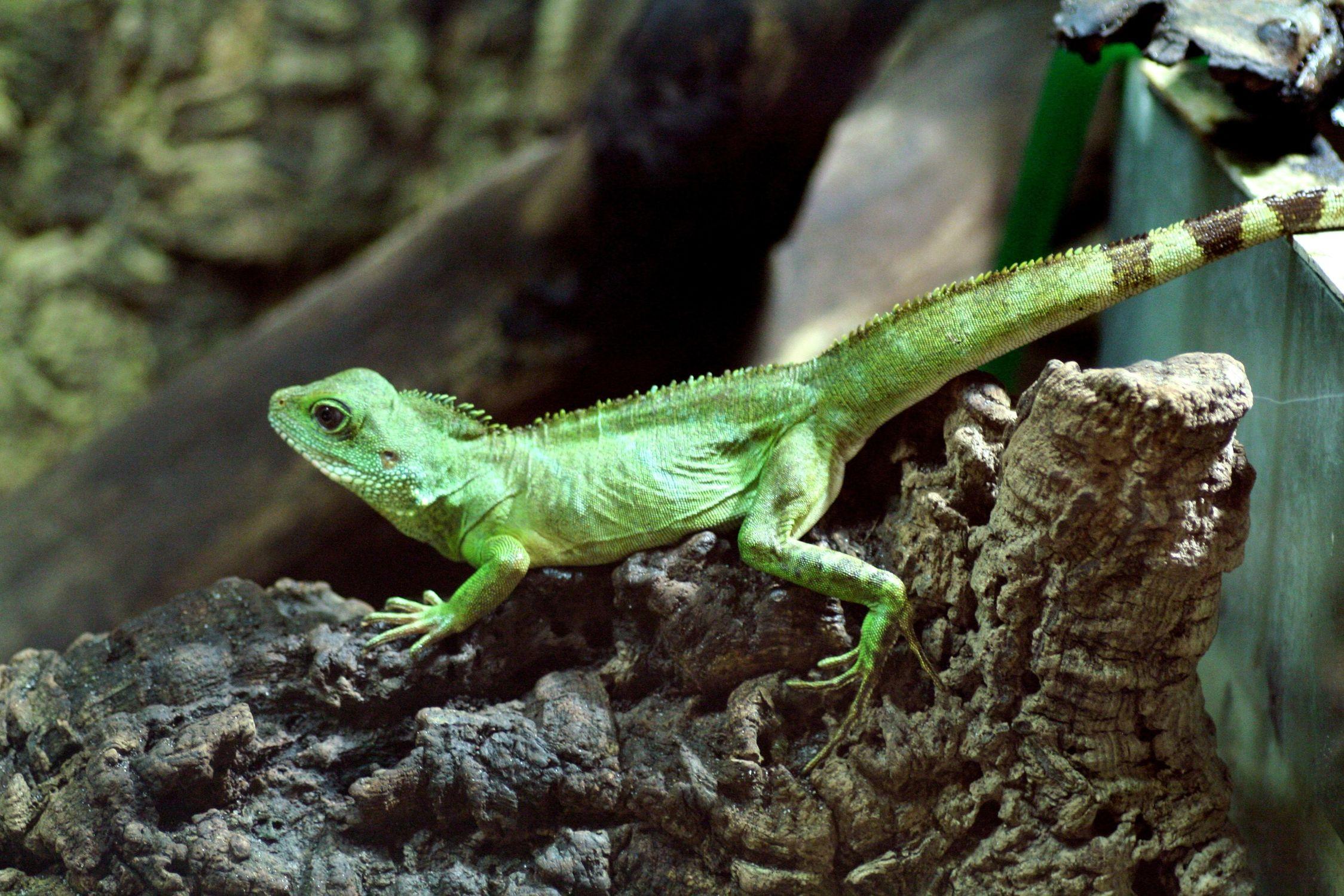 Bild mit Farben, Tiere, Grün, Reptilien, Eidechsen, Leguane, Chamäleons, Tier