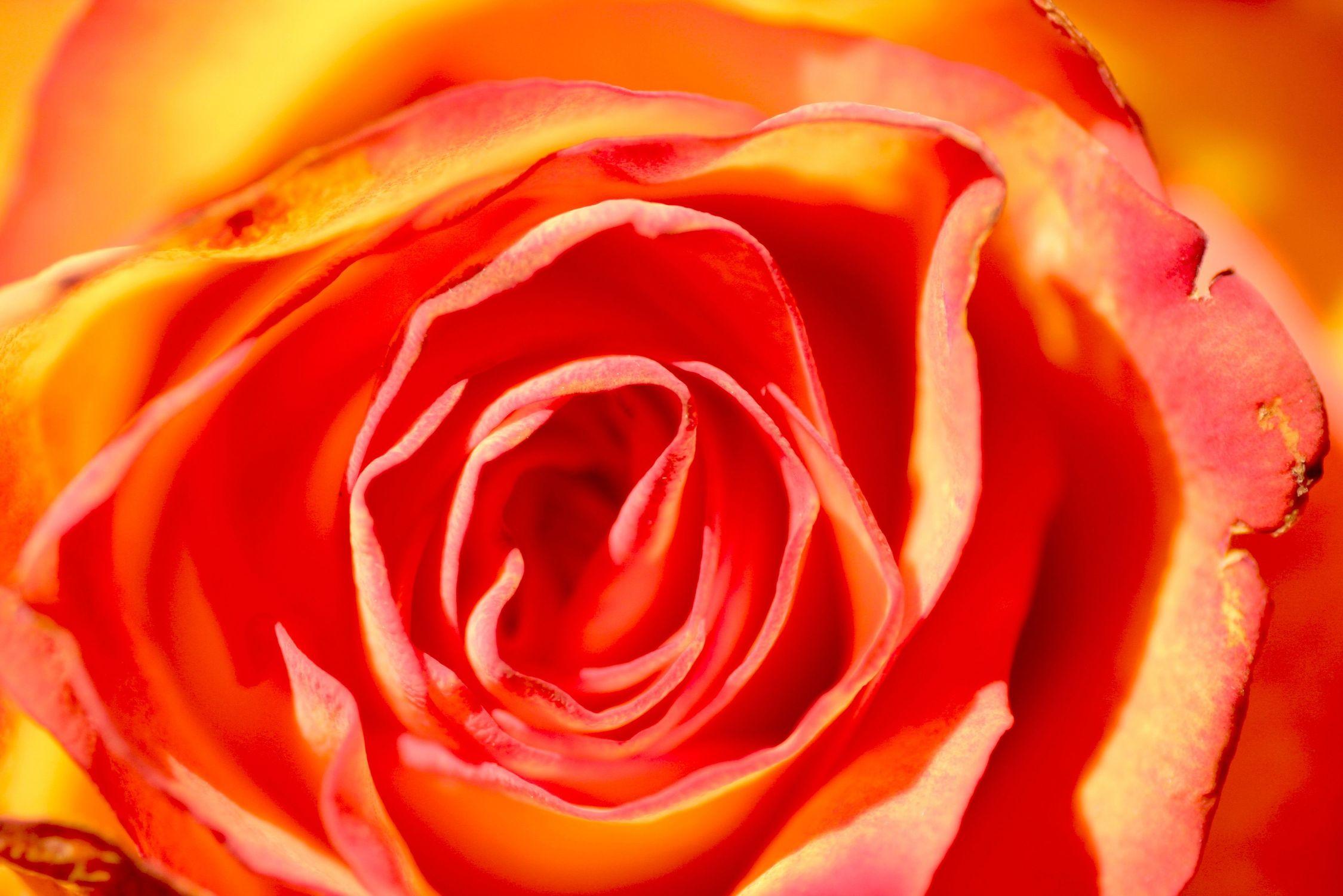 Bild mit Pflanzen, Blumen, Rosen, Blume, Pflanze, Rose, Rosenblüte, Flower, Blüten, blüte