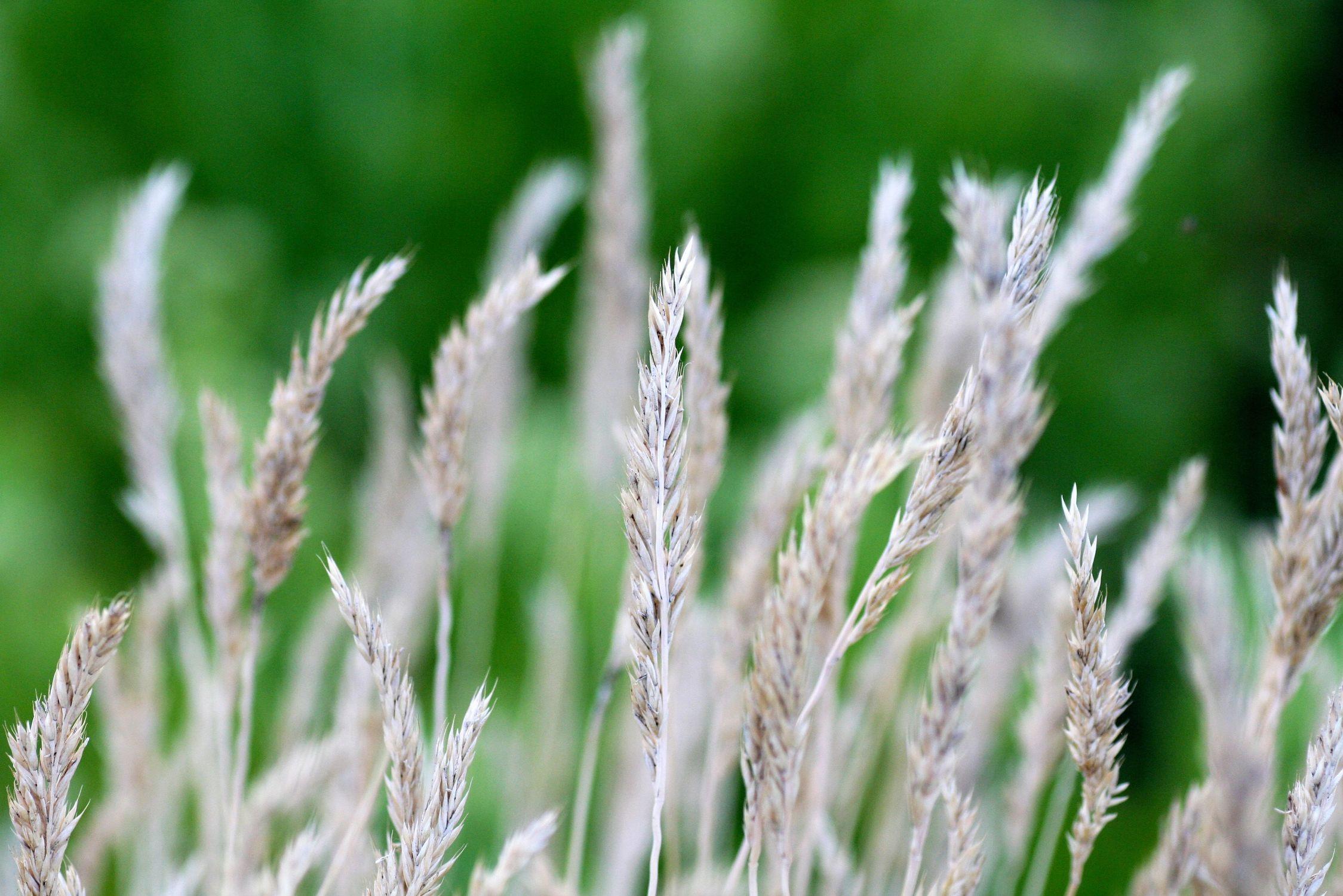 Bild mit Natur, Pflanzen, Gräser, Blumen, Schilf, Schilfgras