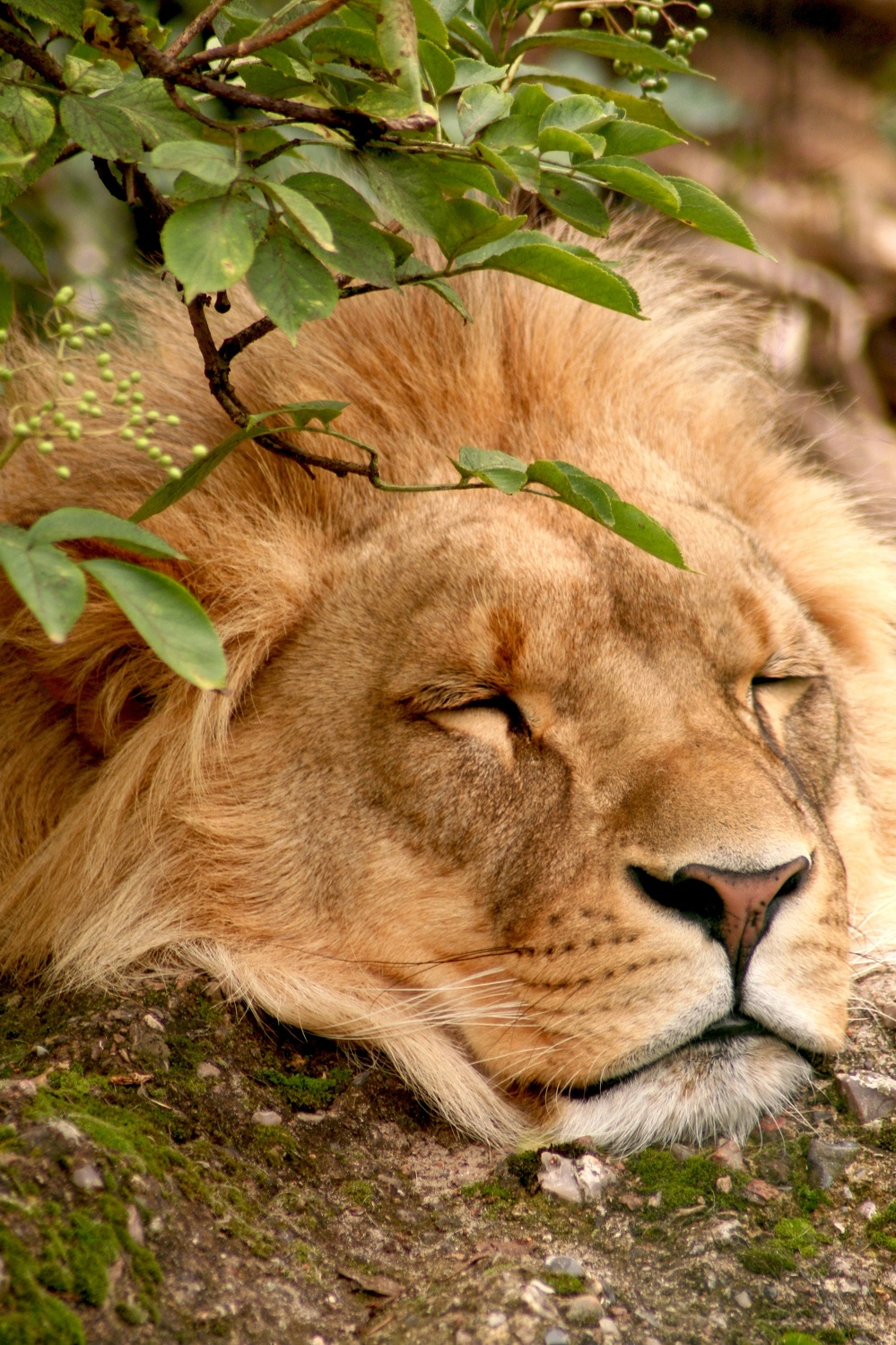Bild mit Tiere, Säugetiere, Natur, Pflanzen, Gräser, Orte, Parks, Zoos, Raubtiere, Katzenartige, Löwen, Tier, Löwe, Lion, Raubkatze, Raubkatzen