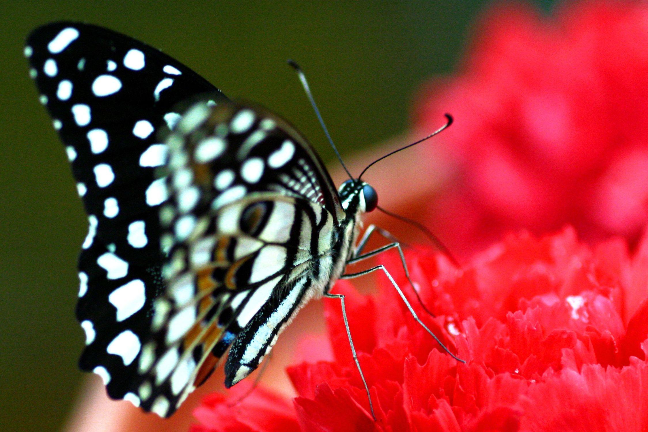 Bild mit Tiere, Natur, Pflanzen, Insekten, Schmetterlinge, Monarchfalter