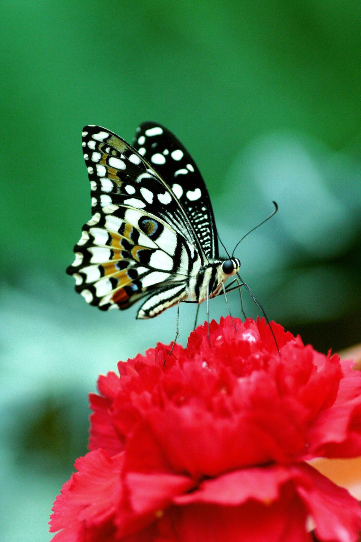 Bild mit Tiere, Natur, Pflanzen, Blumen, Insekten, Schmetterlinge, Monarchfalter, Schmetterling