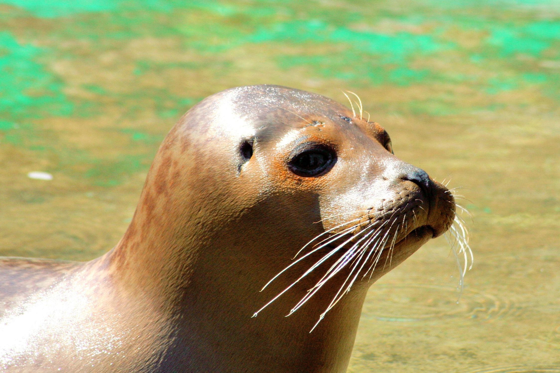 Bild mit Tiere, Säugetiere, Robben, Seehunde, Seelöwen, Seeblöwen
