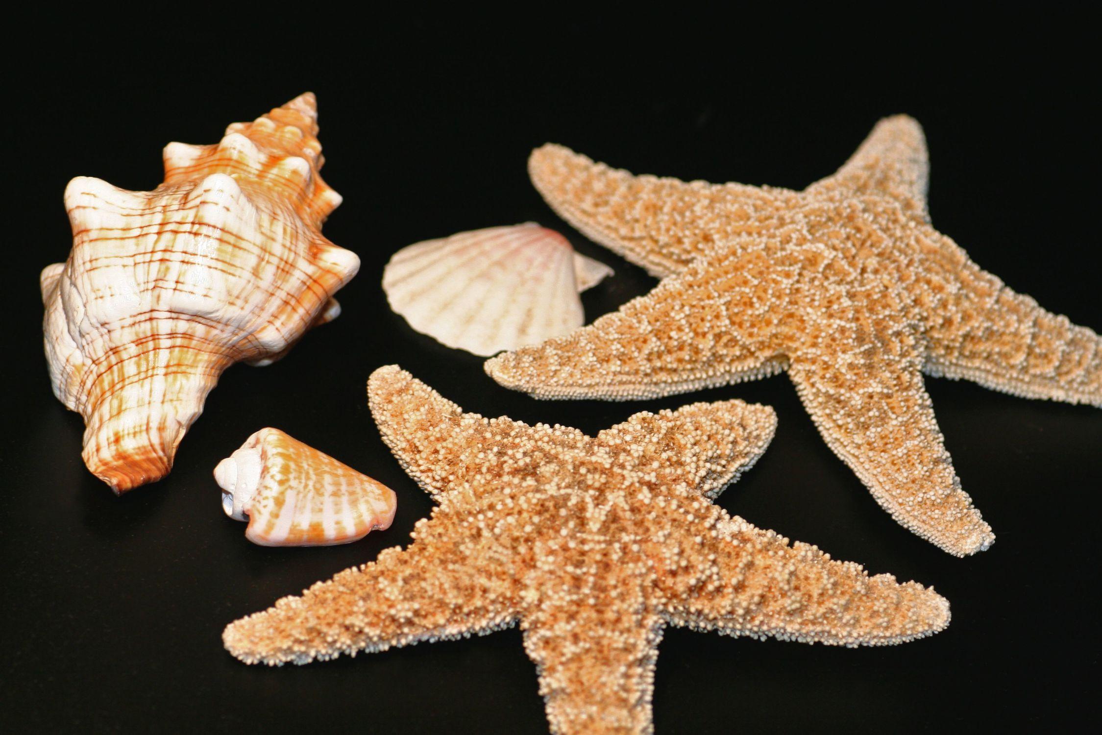 Bild mit Tiere, Stachelhäuter, Muschel, Muscheln, Meeresschnecke, Naturmuschel, Fasciolaria Trapezium, Bandschnecke, Meeresmuschel, Seestern, Seesterne, maritim