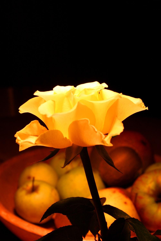 Bild mit Natur, Pflanzen, Blumen, Blumen, Rosa, Rosen, Makrofotografie, Blume, Pflanze, Rose, Roses, Makro, Makro Rose, Rosenblüte, Flower, Flowers, osaceae, yellow, gelbe Rose, gelbe Rosen, yellow Rose, gelbe Rose vor einem Obstteller voller gelber Äpfel