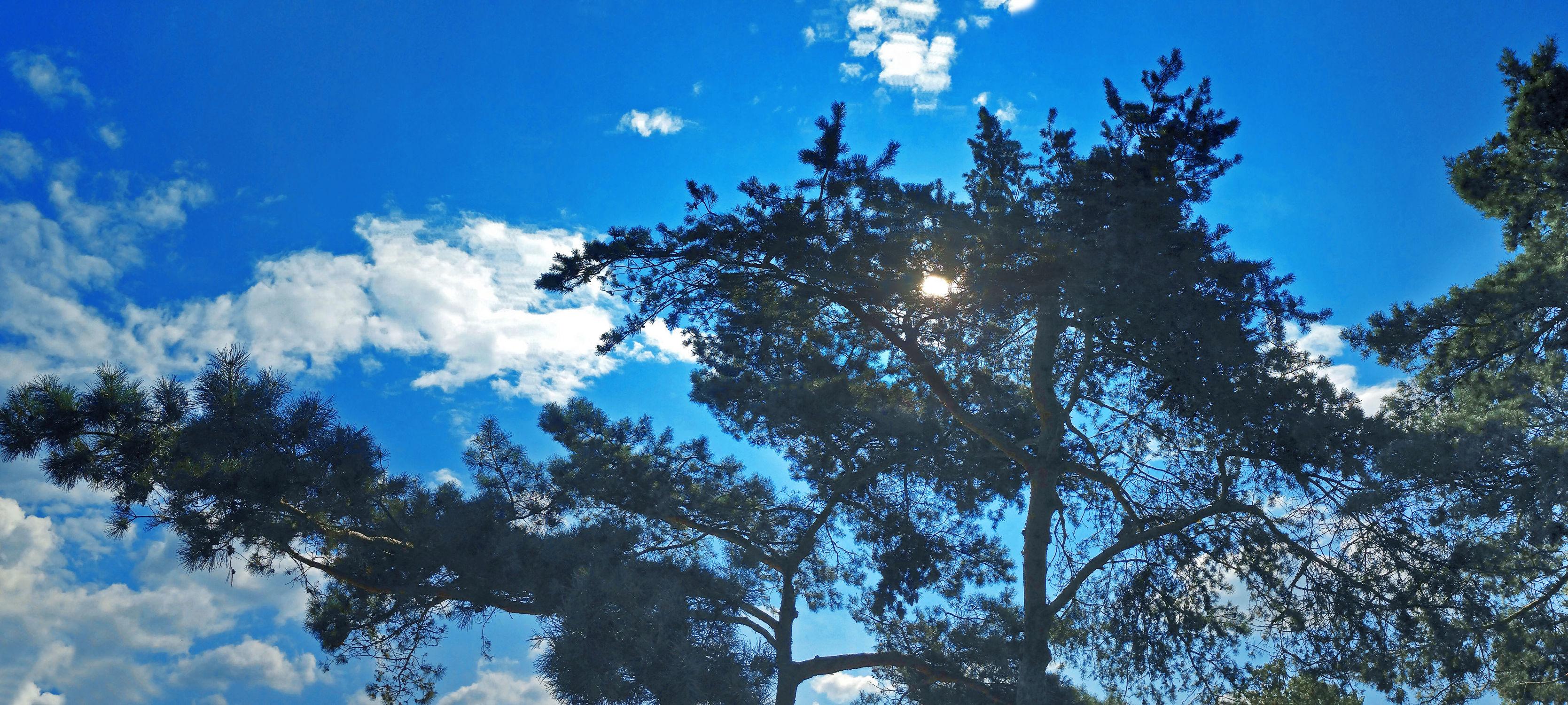 Bild mit Natur, Himmel, Wolken, Baumkrone, Baum, Panorama, Nadelbaum, Pinie, Wolkenhimmel, Kiefer, Kiefergewächs