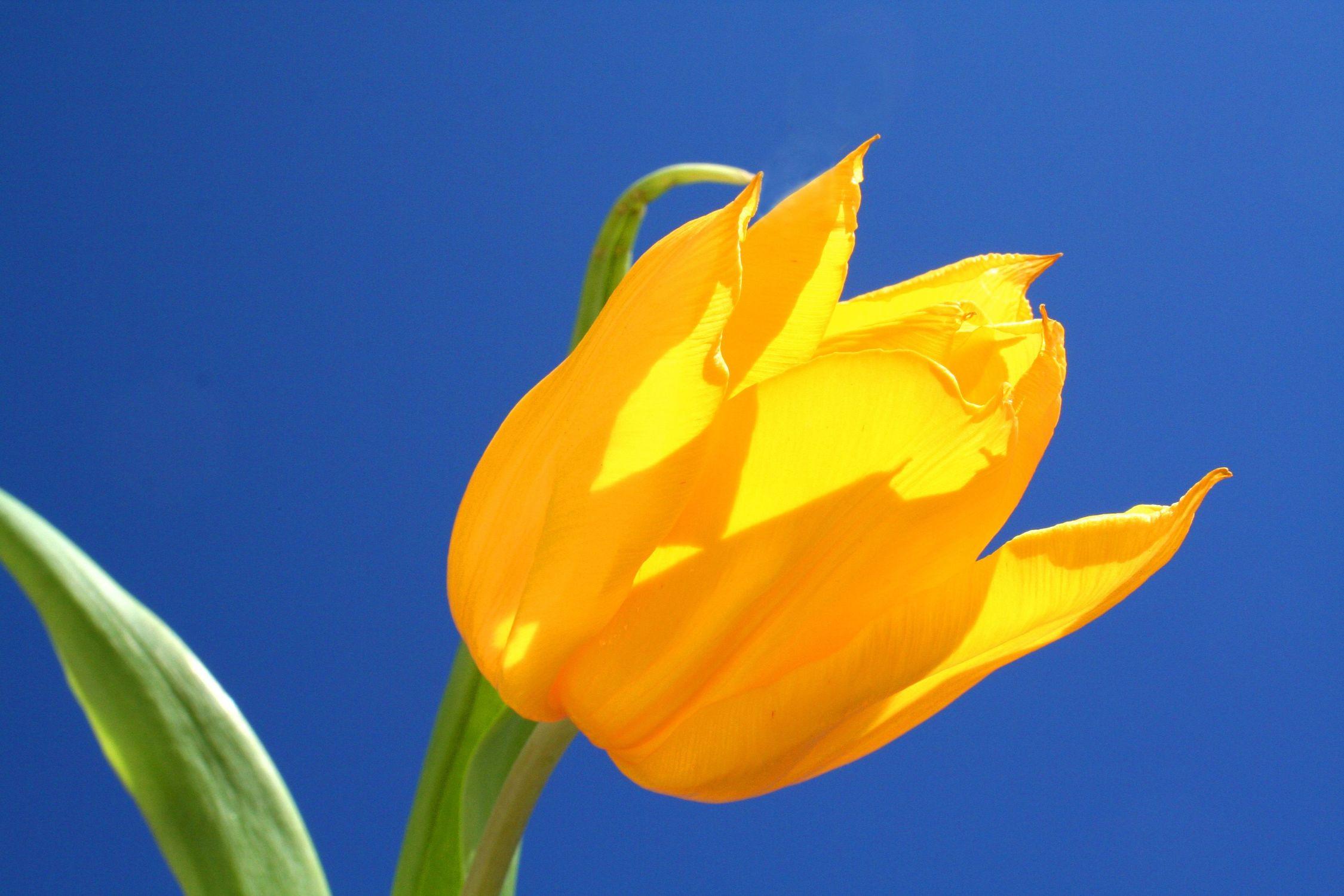 Bild mit Natur, Pflanzen, Blumen, Blumen, Blume, Pflanze, Tulpe, Tulips, Tulpen, gelbe Tulpe, Tulipa, Flower, Flowers, Tulip, gelbe Tulpen, yellow tulip, yellow tulips, yellow