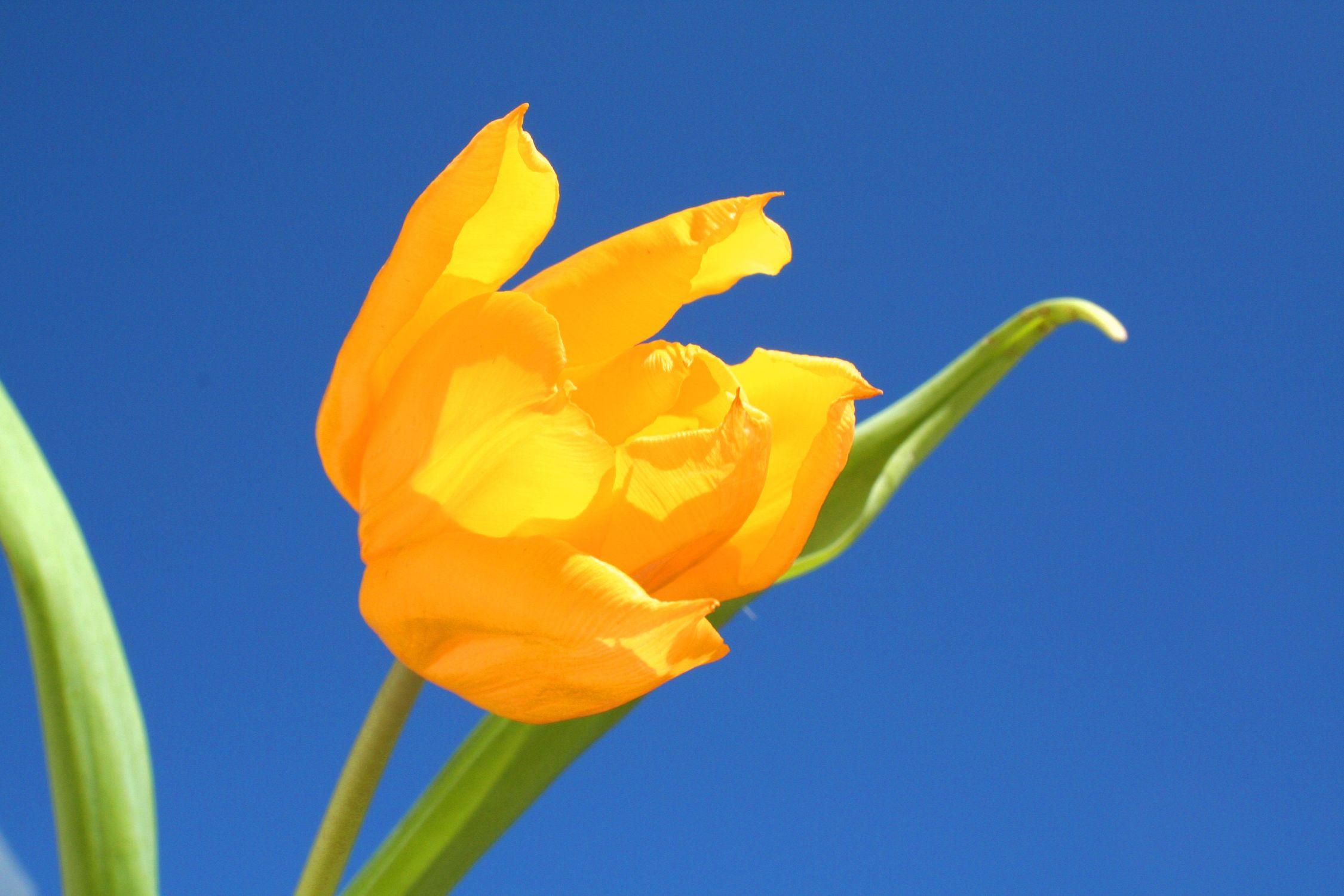 Bild mit Farben, Gelb, Gelb, Natur, Pflanzen, Blumen, Tulpe, Tulips, Tulpen, gelbe Tulpe, Tulipa, Flower, Flowers, Tulip, Blume, Blumen, Pflanze, gelbe Tulpen, yellow tulip, yellow tulips, yellow