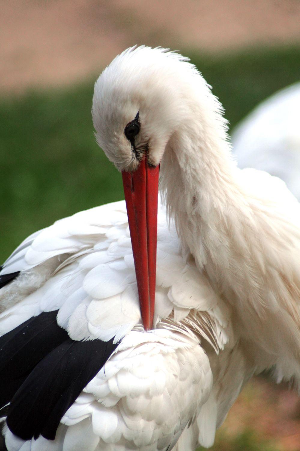 Bild mit Tiere, Natur, Vögel, Vögel, Störche, Federn, Tier, Storch