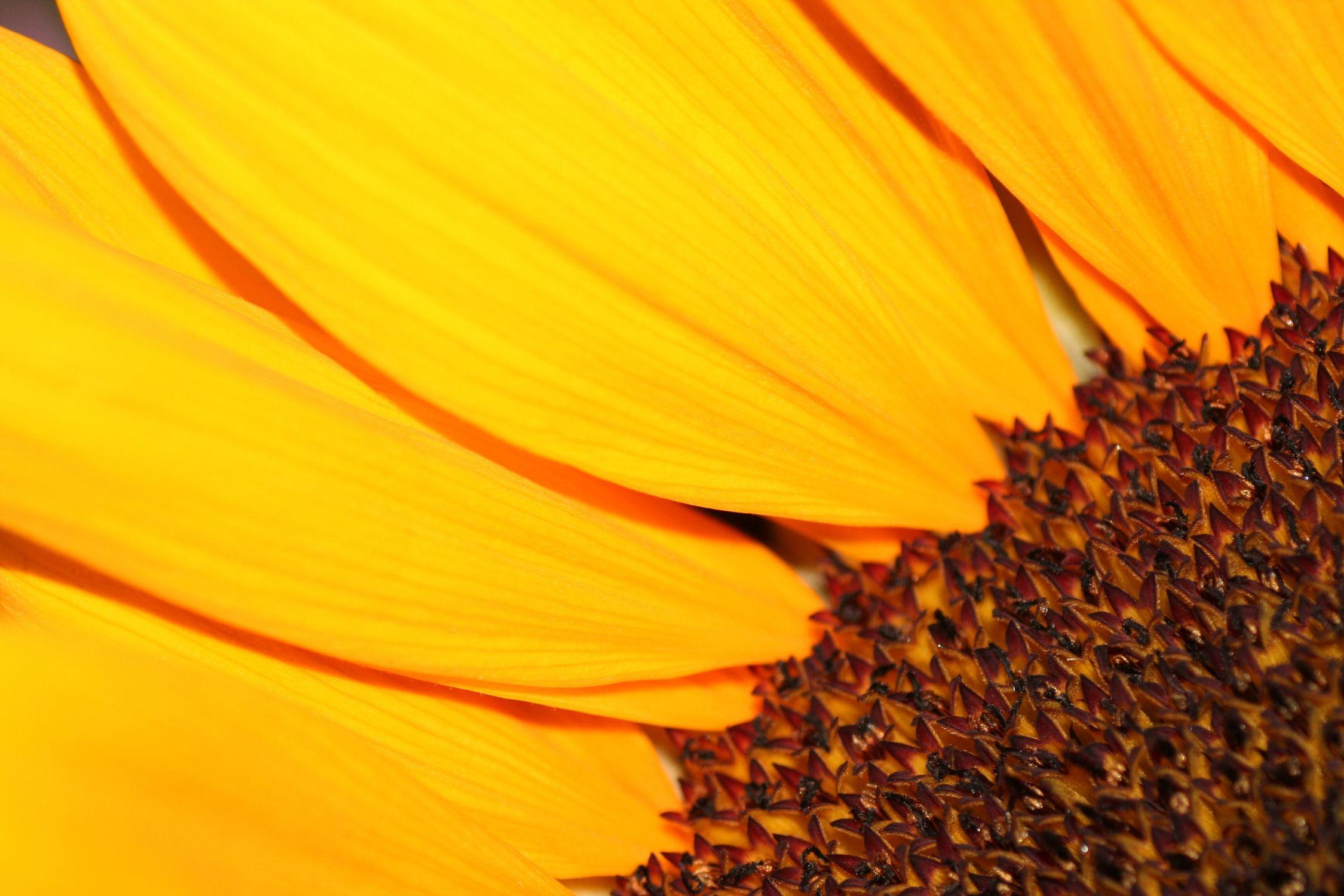 Bild mit Farben, Orange, Gelb, Natur, Pflanzen, Blumen, Korbblütler, Sonnenblumen, Blume, Flower, Flowers, Sonnenblume, Sunflower, Sunflowers, Helianthus annuus, Helianthus, Asteraceae
