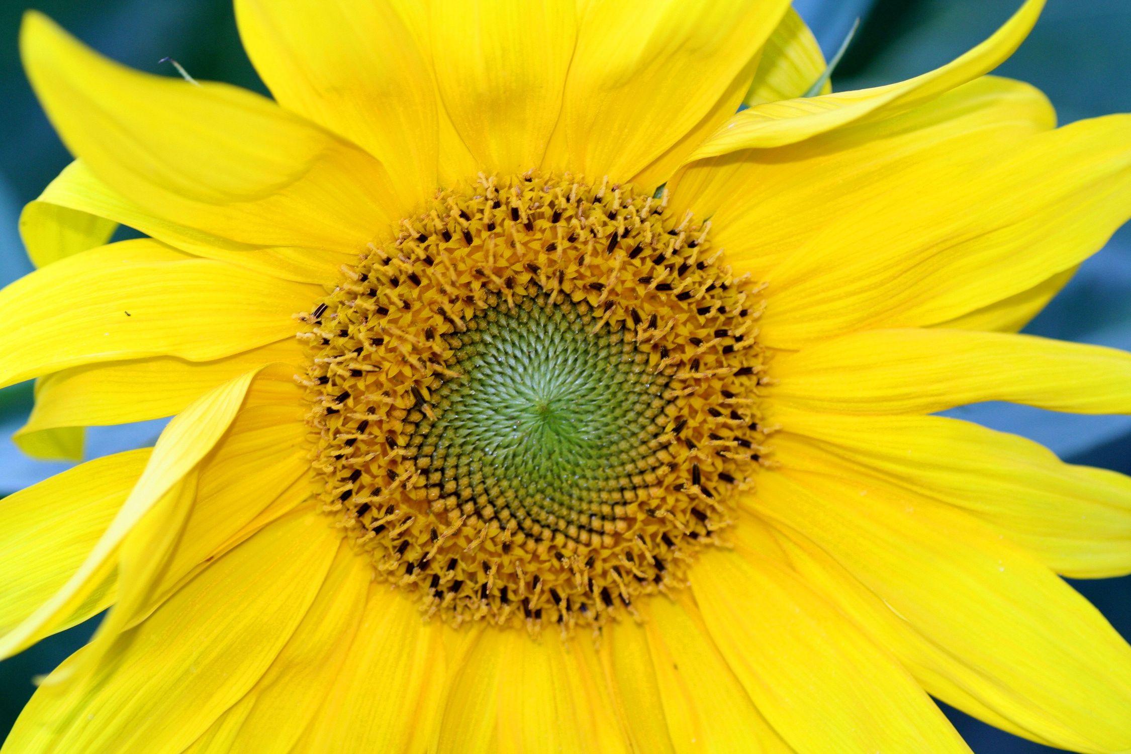 Bild mit Gelb, Gegenstände, Natur, Pflanzen, Lebensmittel, Essen, Blumen, Korbblütler, Sonnenblumen, Blume, Flower, Flowers, Sonnenblume, Sunflower, Sunflowers