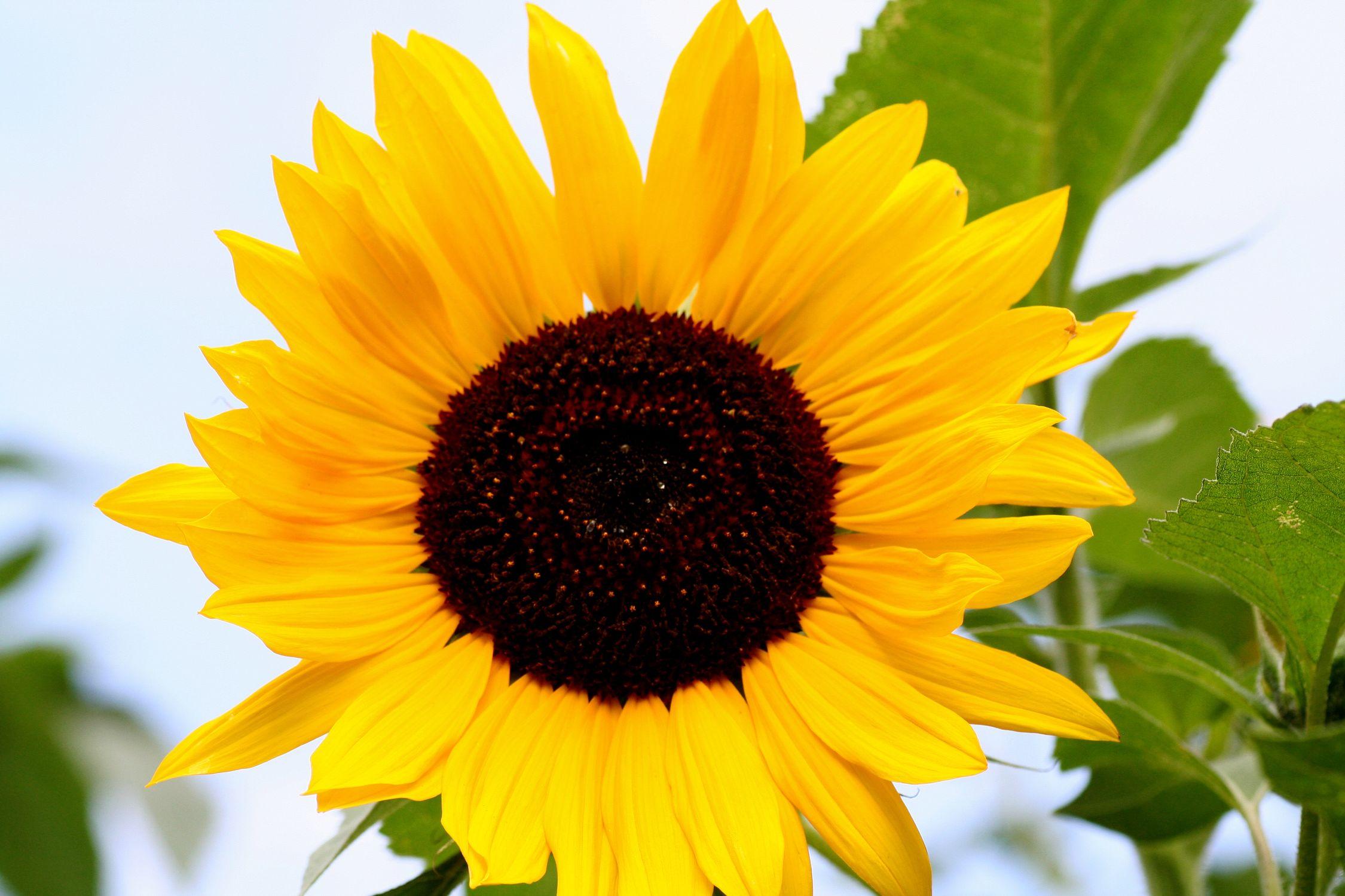 Bild mit Farben, Gelb, Natur, Pflanzen, Himmel, Blumen, Korbblütler, Sonnenblumen, Blume, Flower, Flowers, Sonnenblume, Sunflower, Sunflowers