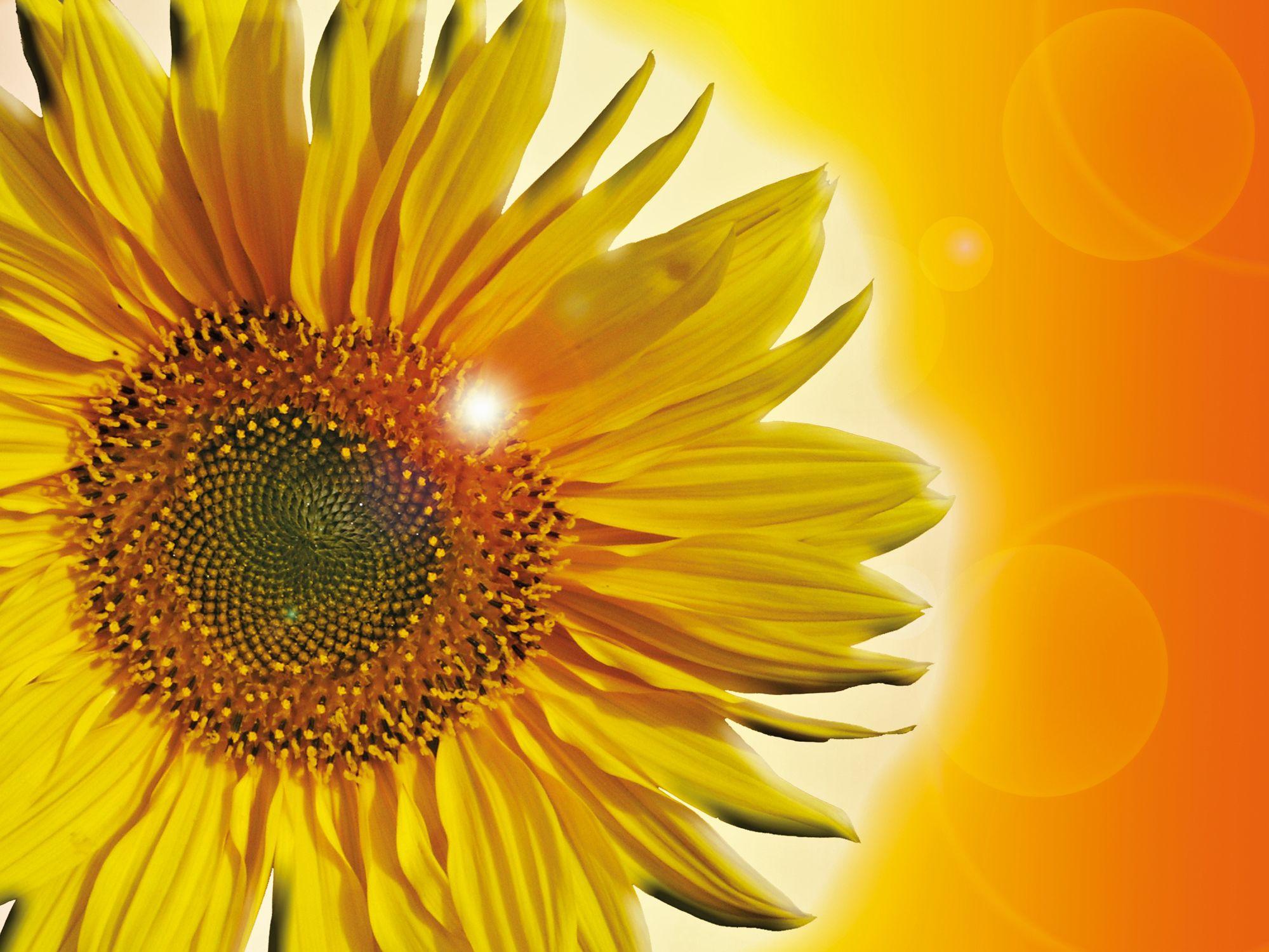 Bild mit Farben, Gelb, Natur, Pflanzen, Blumen, Korbblütler, Sonnenblumen, Blume, Flower, Flowers, Sonnenblume, Sunflower, Sunflowers, Helianthus annuus, Helianthus, Asteraceae