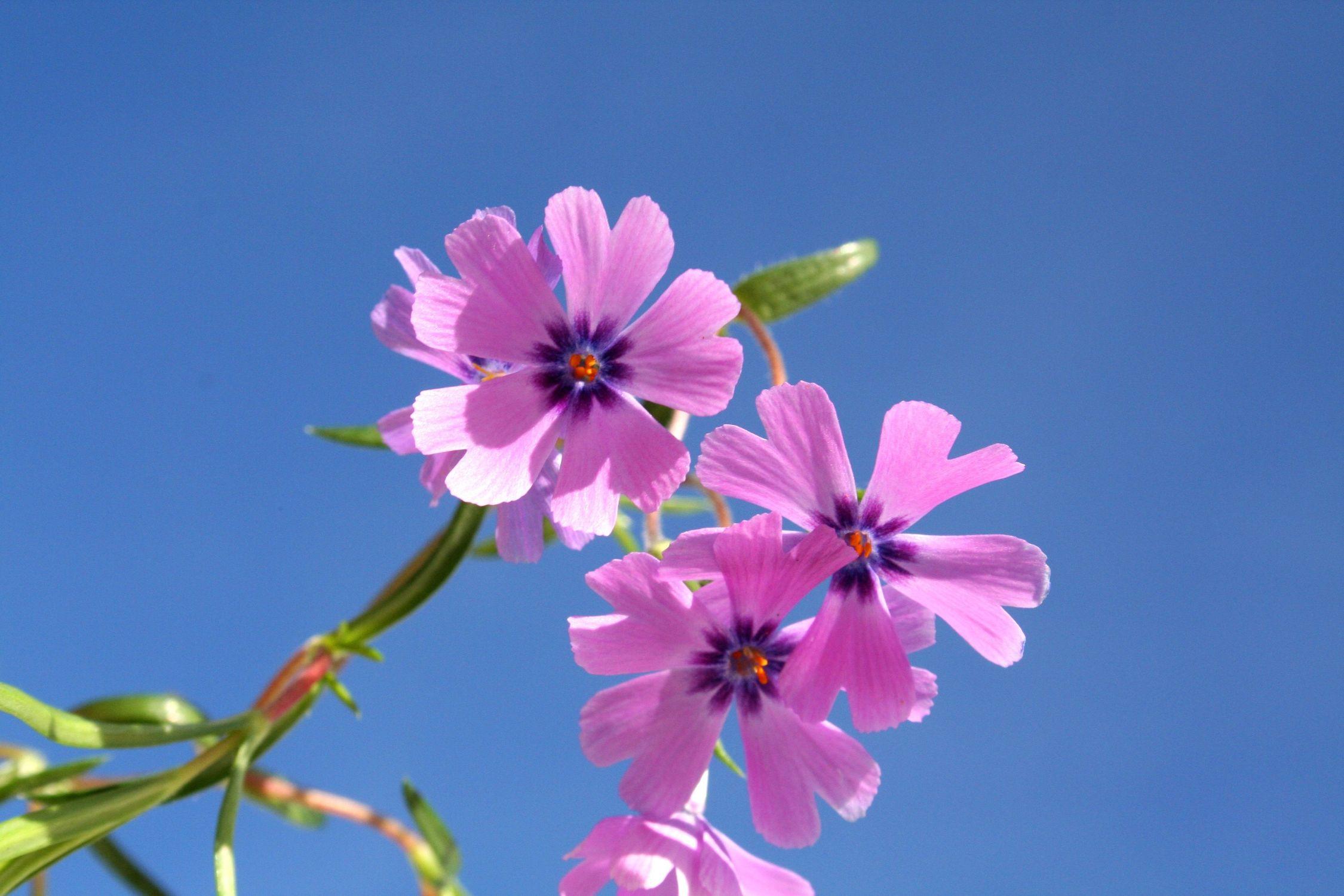 Bild mit Farben, Natur, Pflanzen, Himmel, Jahreszeiten, Blumen, Rosa, Frühling, Blume, Pflanze, Flower, sunshine
