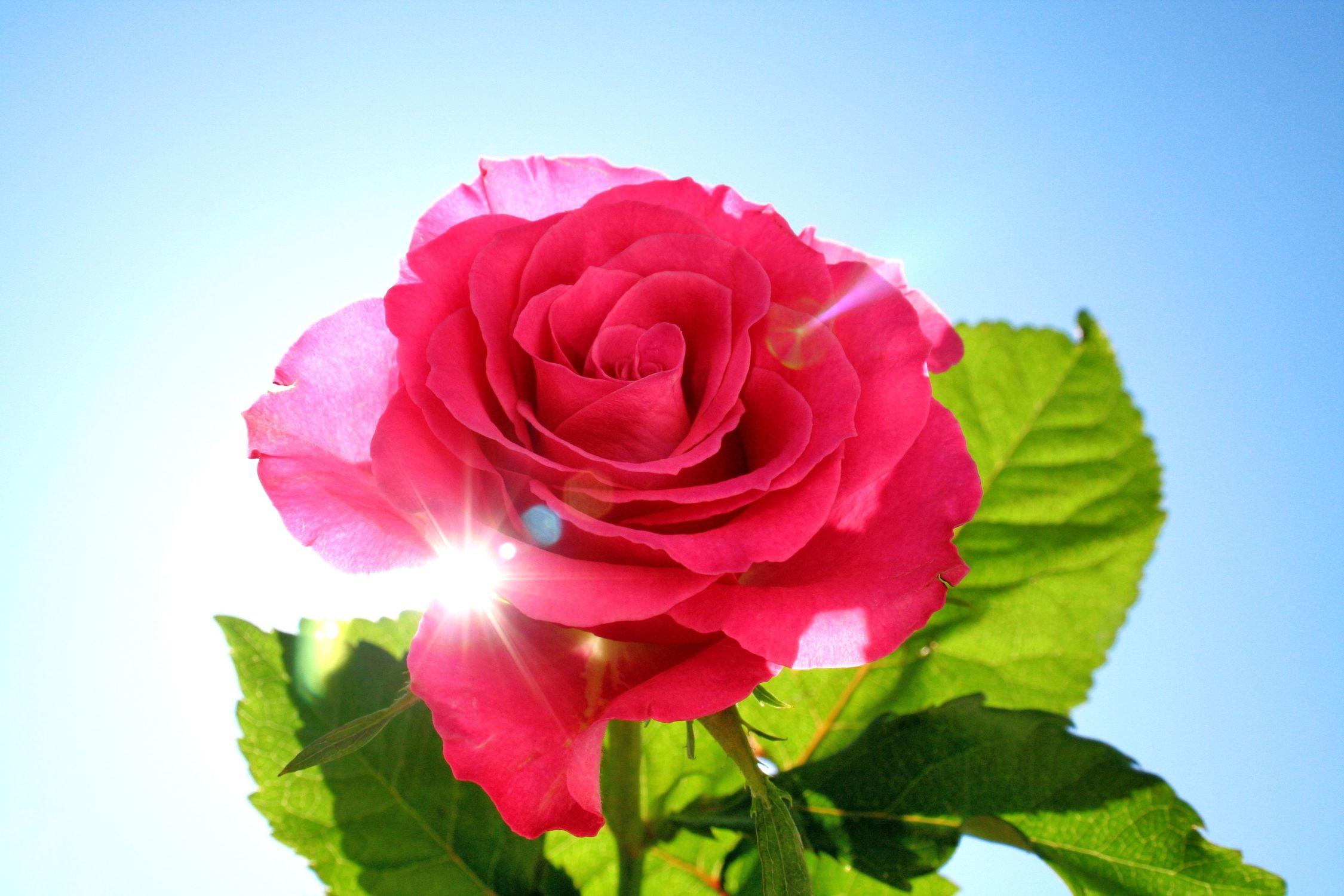 Bild mit Farben, Natur, Pflanzen, Blumen, Rosa, Rosen, Kamelien, Sonnenschein, Rose