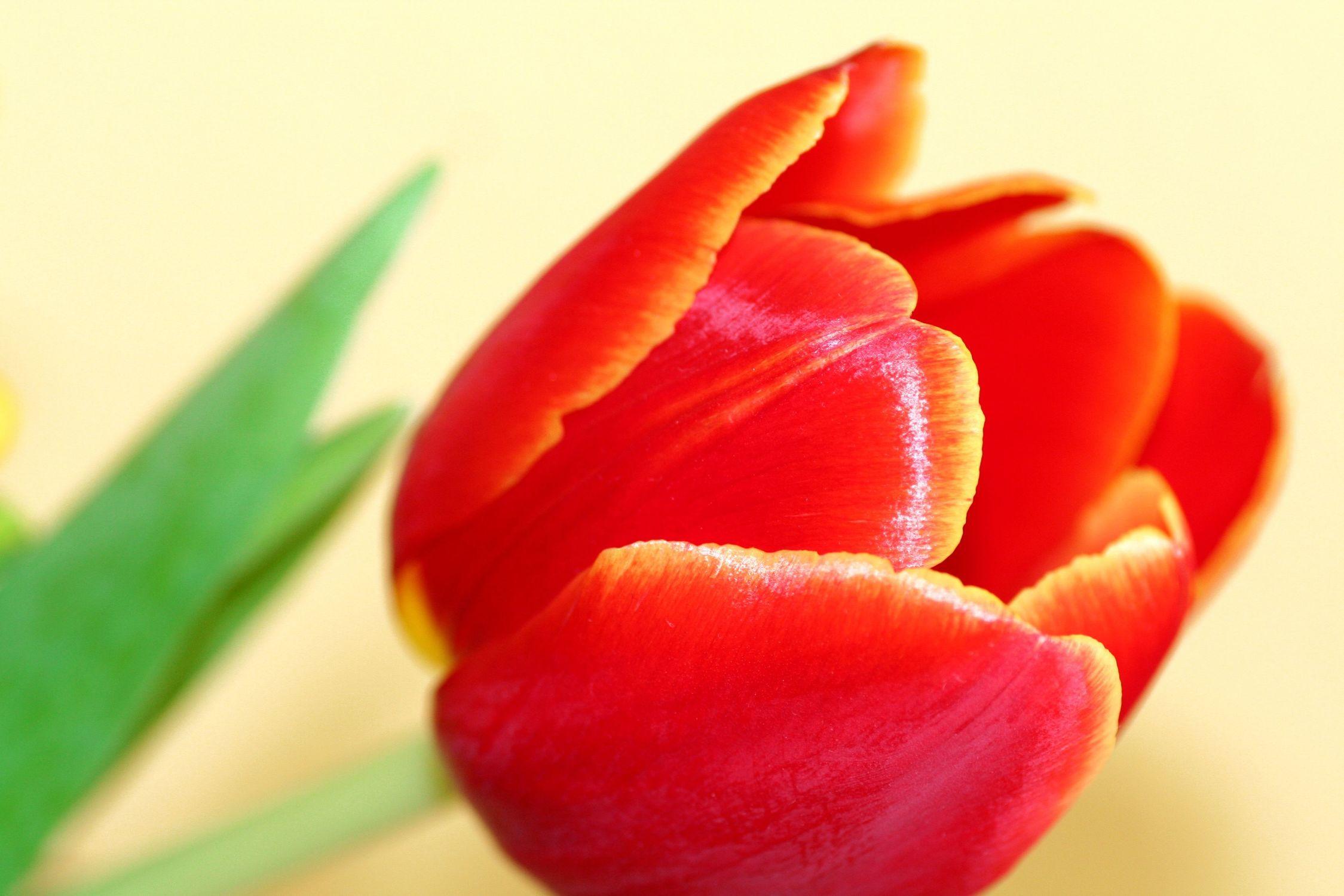 Bild mit Farben, Orange, Natur, Pflanzen, Blumen, Blumen, Rot, Blume, Pflanze, Tulpe, Tulips, Tulpen, Tulipa, Flower, Flowers, Tulip, red, rote Tulpe, rote Tulpen, red tulip, red tulips