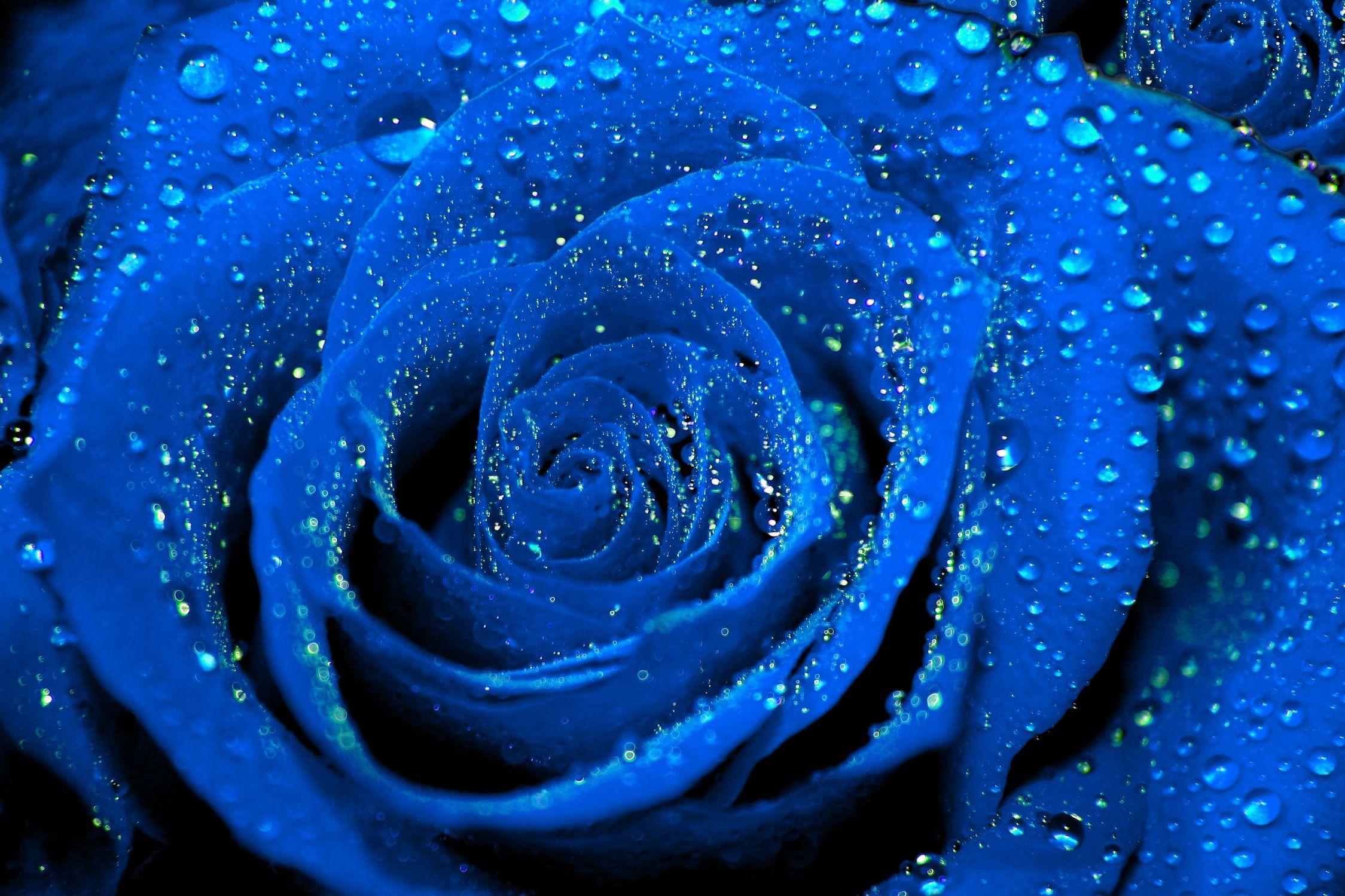 Bild mit Farben, Natur, Elemente, Wasser, Pflanzen, Blumen, Blumen, Rosa, Rosen, Makrofotografie, Blume, Pflanze, Rose, Roses, Makro, Makro Rose, Rosenblüte, Flower, Flowers, osaceae, blaue Rose, blaue Rosen, Blue Rose, blue, Wassertropfen, Regentropfen, Wassertropfen auf Rosenblätter, Raining Drops on Rose
