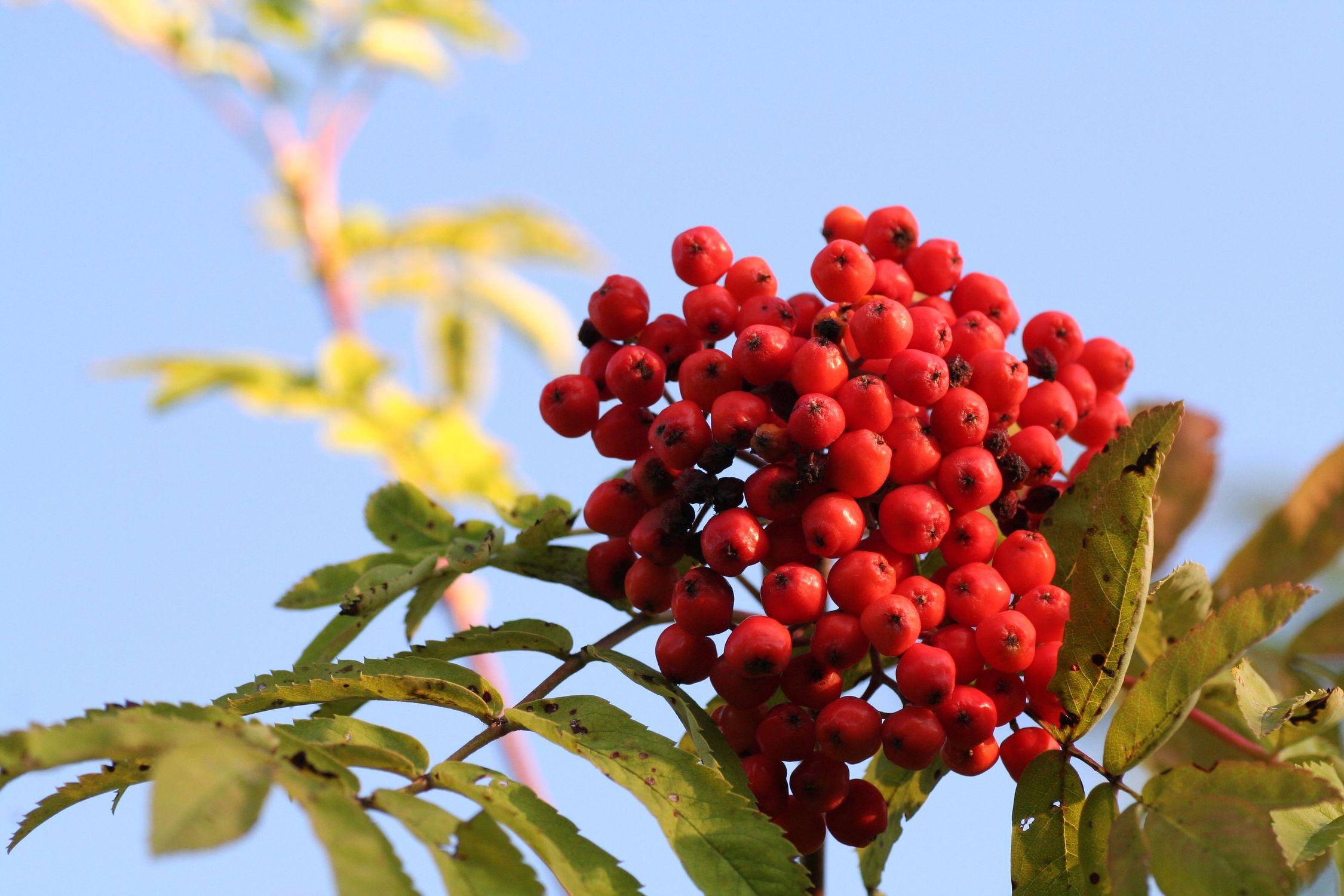 Bild mit Gegenstände, Natur, Pflanzen, Bäume, Früchte, Lebensmittel, Essen, Blumen, Beeren