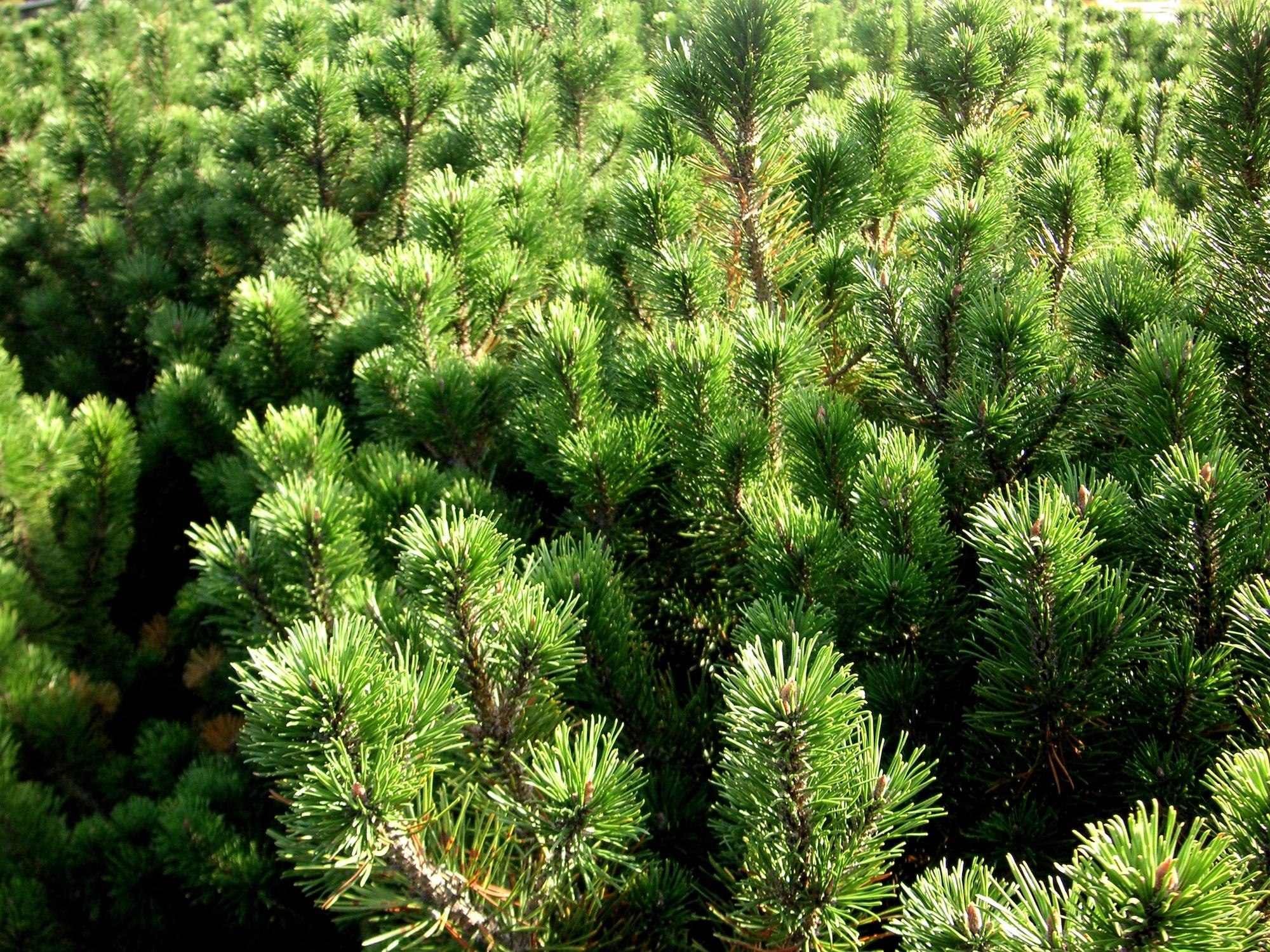 Bild mit Natur, Pflanzen, Bäume, Nadelbäume, Kiefern, Fichten, Tannen