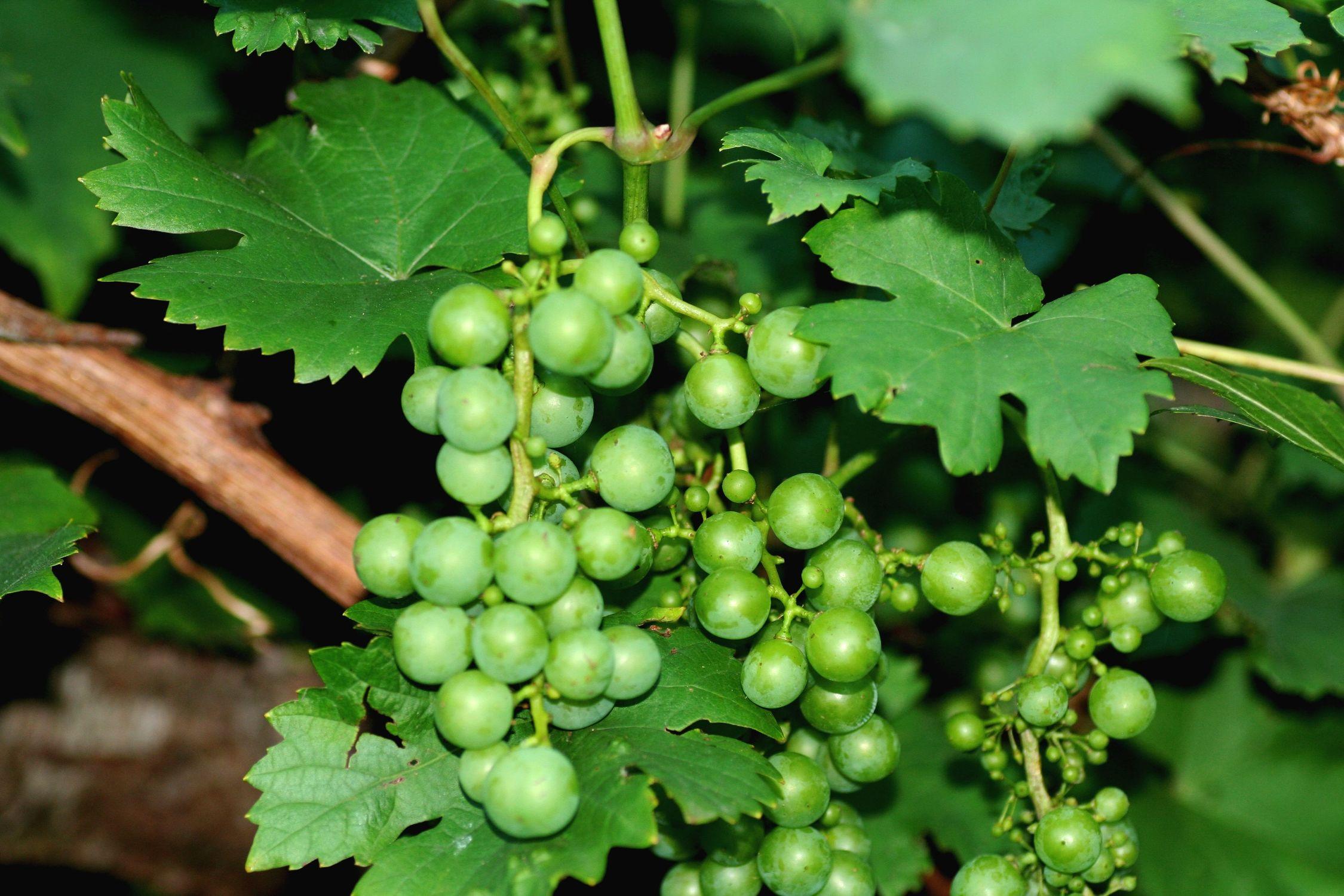 Bild mit Gegenstände, Natur, Pflanzen, Früchte, Lebensmittel, Essen, Blumen, Trauben, Weinstöcke, Weinreben, Weintraube, Weintrauben, Vitis, Traube, Weinbeere, Weinbeeren, Weinrebe, Rebe