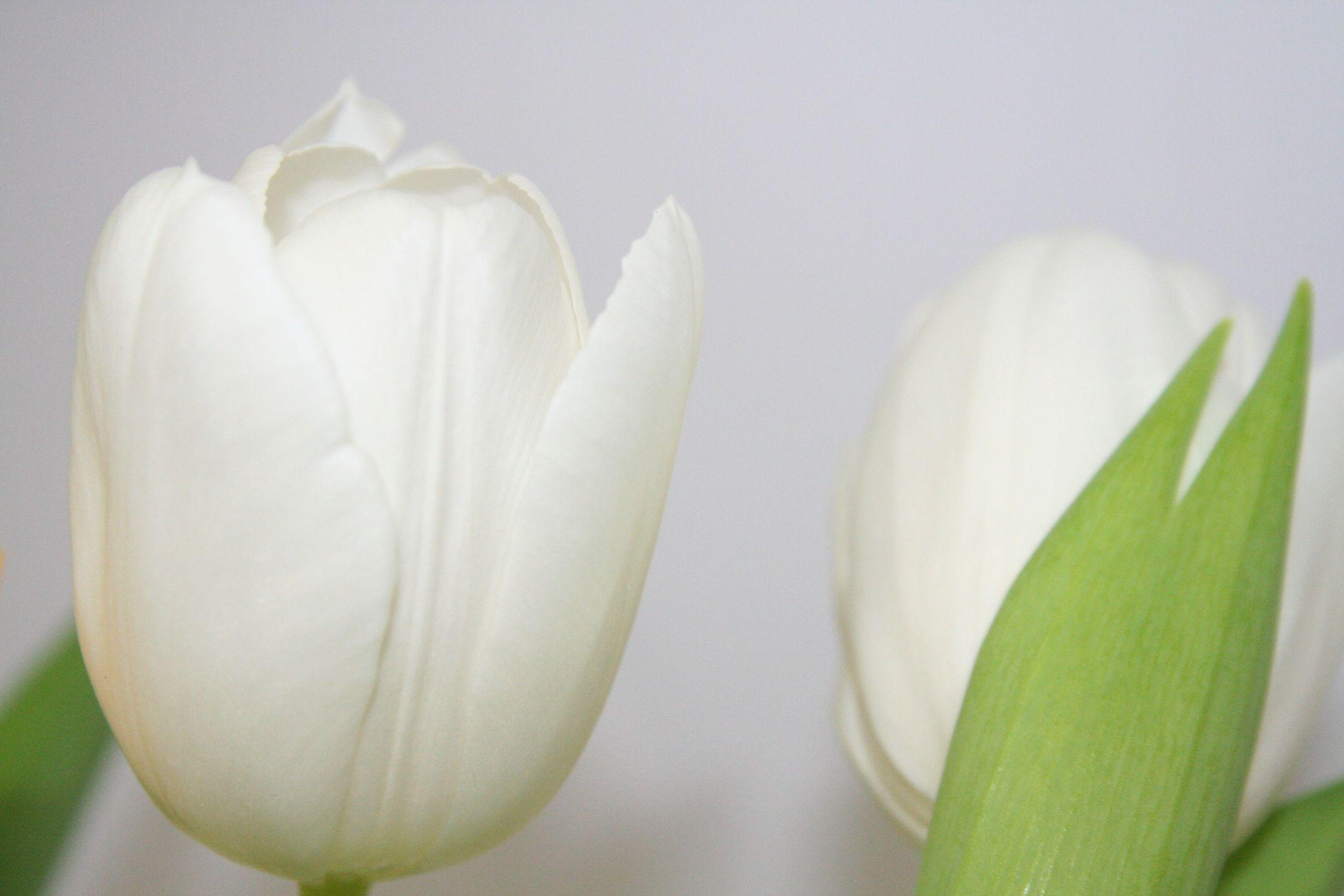 Bild mit Farben, Natur, Pflanzen, Blumen, Blumen, Weiß, Weiß, Blume, Pflanze, Tulpe, Tulips, Tulpen, weiße Tulpen, Tulipa, Flower, Flowers, Tulip, weiße Tulpe, white tulip, white tulips