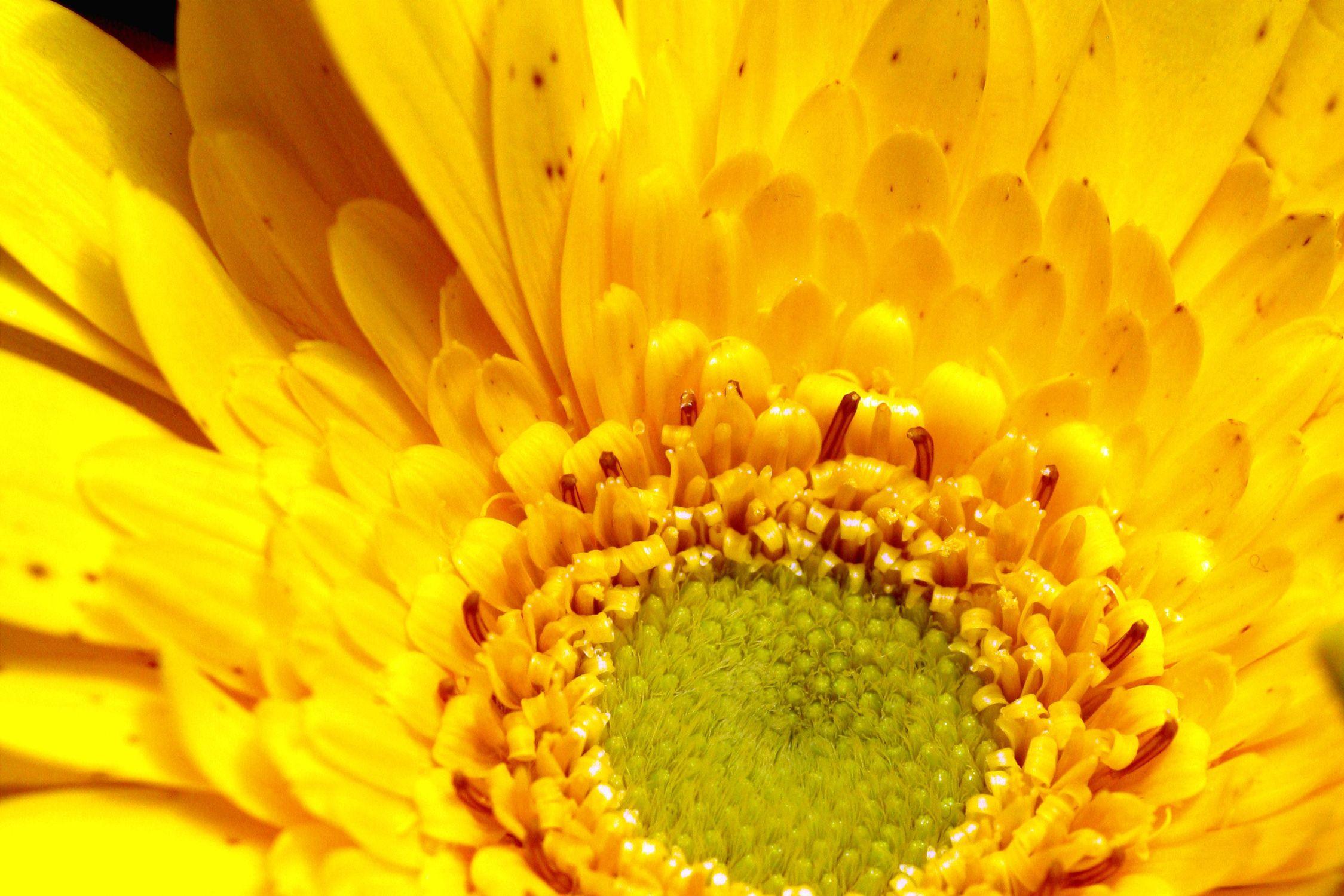 Bild mit Farben, Gelb, Natur, Pflanzen, Blumen, Korbblütler, Gerberas, Sonnenblumen