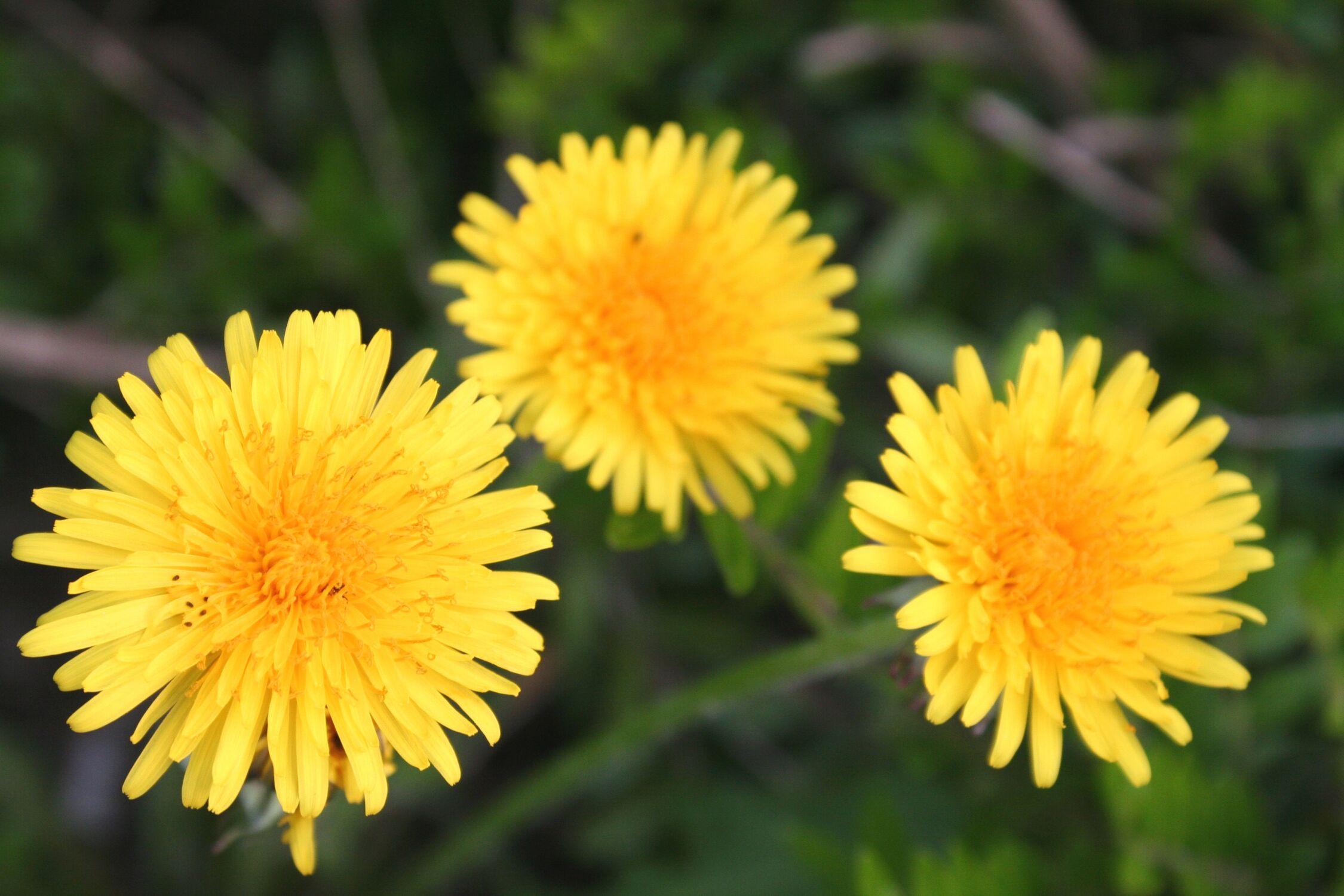 Bild mit Farben, Gelb, Natur, Pflanzen, Blumen, Korbblütler, Löwenzähne, Blume, Planze, Löwenzahn, Pusteblume