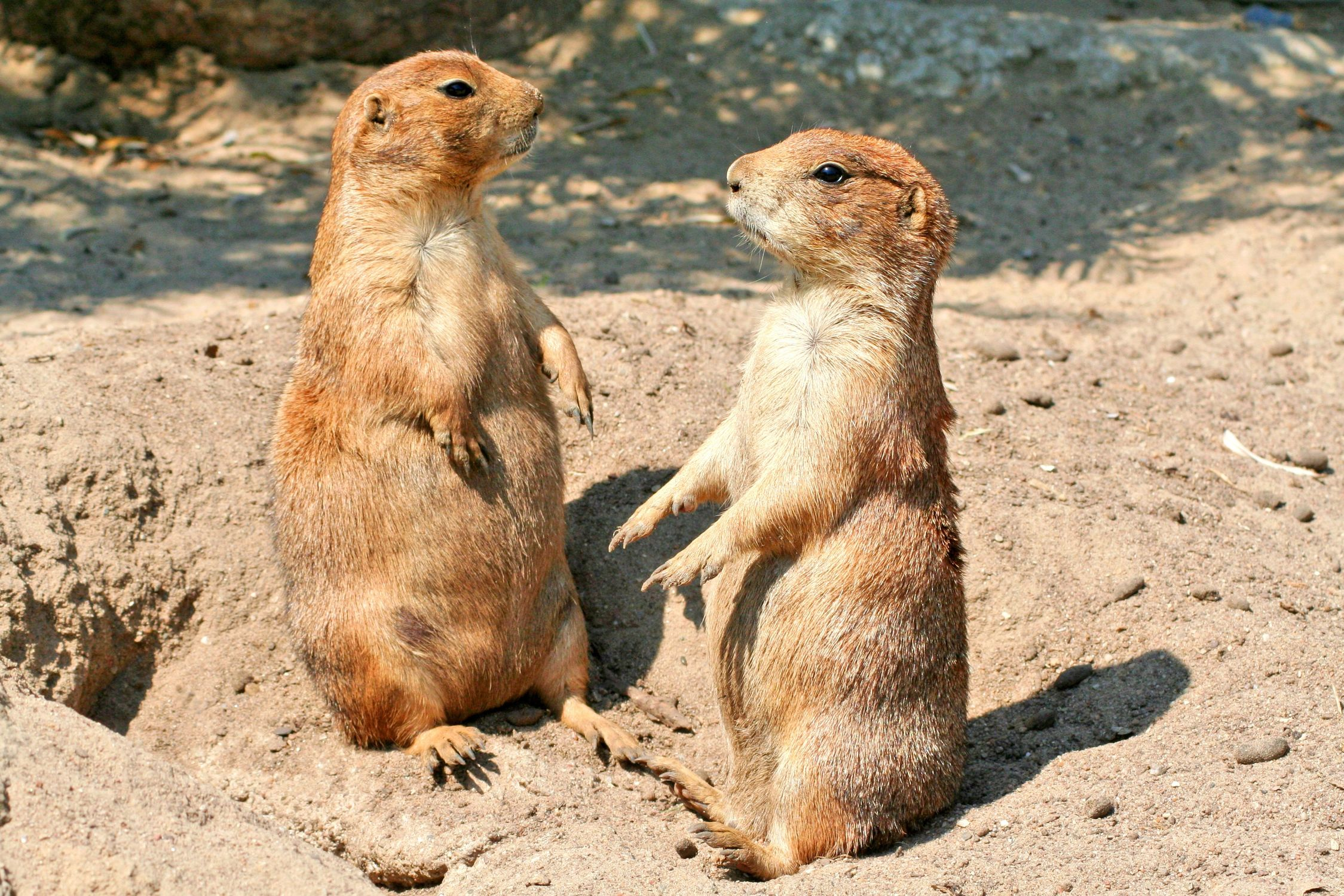 Bild mit Tiere, Säugetiere, Nagetiere, Ratten, Taschenratten, Hörnchen, Erdhörnchen