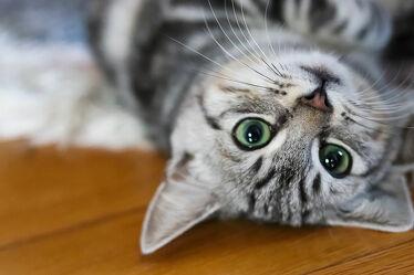 Bild mit Tiere, Katzen, Tier, Säugetier, Katze, klein, süss, Liegen, Katzenbaby