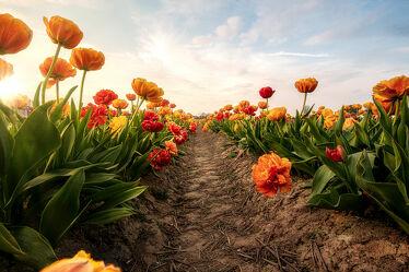 Bild mit Natur, Blumen, Sonnenuntergang, Landschaft, Pflanze, Tulpe, Wiese, Feld, Sonnenlicht
