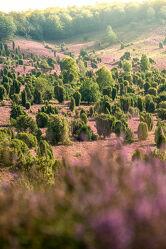 Bild mit Natur, Blumen, Sommer, Sommer, Landschaft, Heide, Niedersachsen, Lüneburger Heide, Sonning