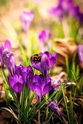 Bild mit Tiere, Natur, Frühling, Insekten, Blume, Pflanze, Allee, Biene, hummel, Bremen