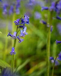 Bild mit Natur, Blumen, Wiese, Haselglöckchen