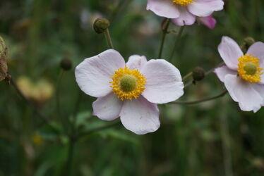 Bild mit Natur, Blumen, Makrofotografie, Blume, anemonen, anemone