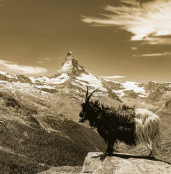 Bild mit Landschaften, Berge, Ziegen, Wallis, Matterhorn