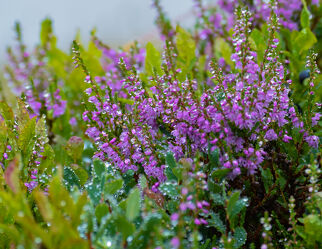 Bild mit Natur, Blumen, Alm, Kräuter & Wildblumen, Heidelbeeren