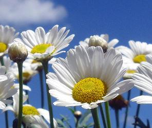 Bild mit Pflanzen, Himmel, Blumen, Blume, Pflanze, Margariten, margarite