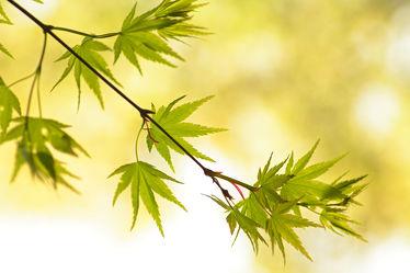 Bild mit Natur,Grün,Baum,Pflanze,frisch,Ast,Leben,Ahorn