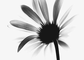 Die Blume Schwarz WeiÃ?