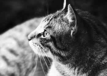 Bild mit Tiere, Haustiere, Katzen, Tier, Katze, Kater, schwarz weiß, SW, hauskatzen
