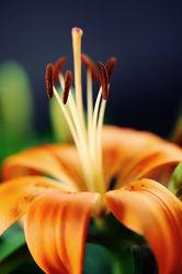 Bild mit Blumen,Blume,Flower,Flowers,Lilien